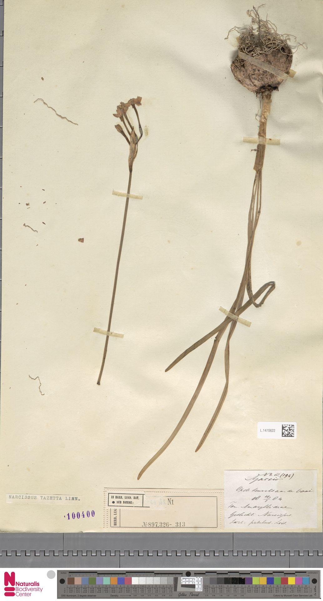 L.1470622 | Narcissus tazetta L.