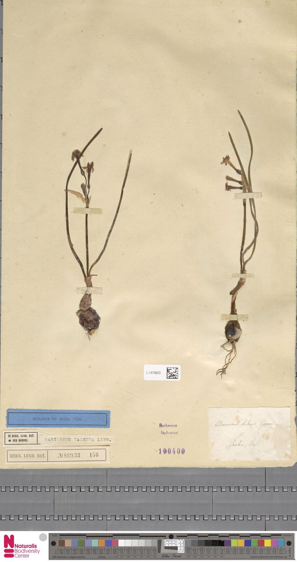 L.1470623 | Narcissus tazetta L.