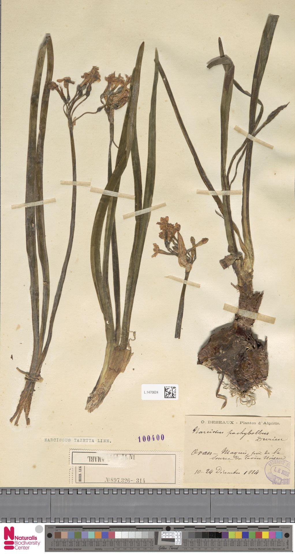 L.1470624 | Narcissus tazetta L.