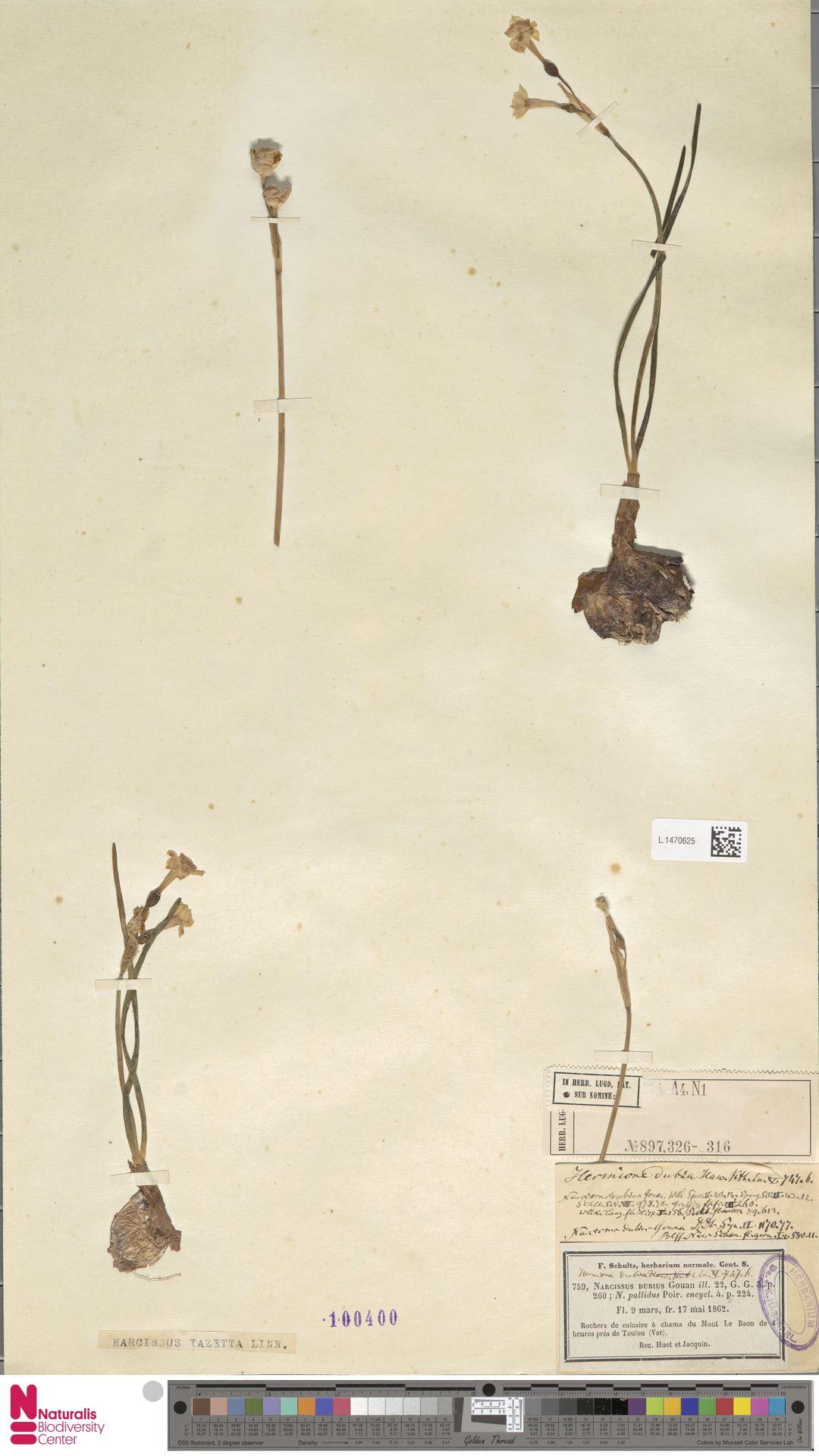 L.1470625 | Narcissus tazetta L.