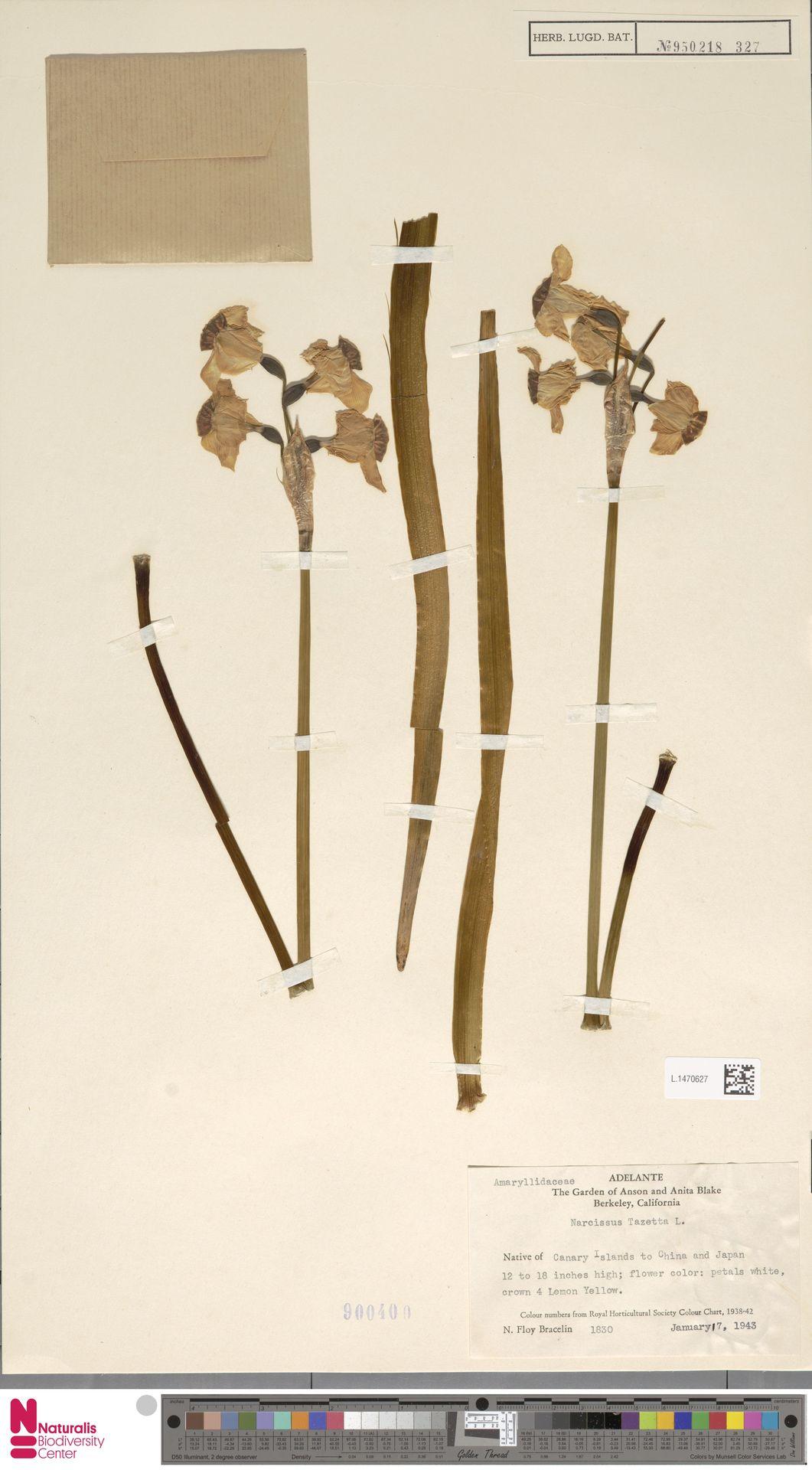 L.1470627 | Narcissus tazetta L.
