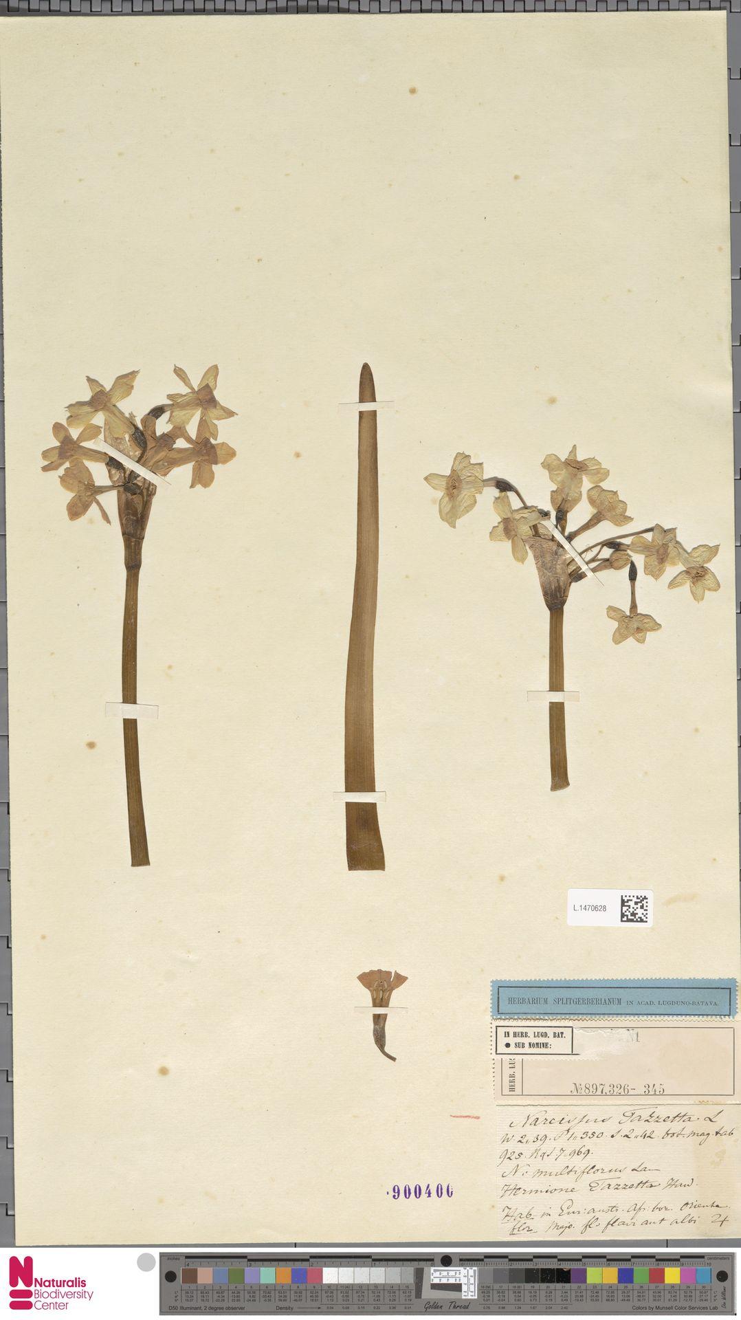 L.1470628 | Narcissus tazetta L.