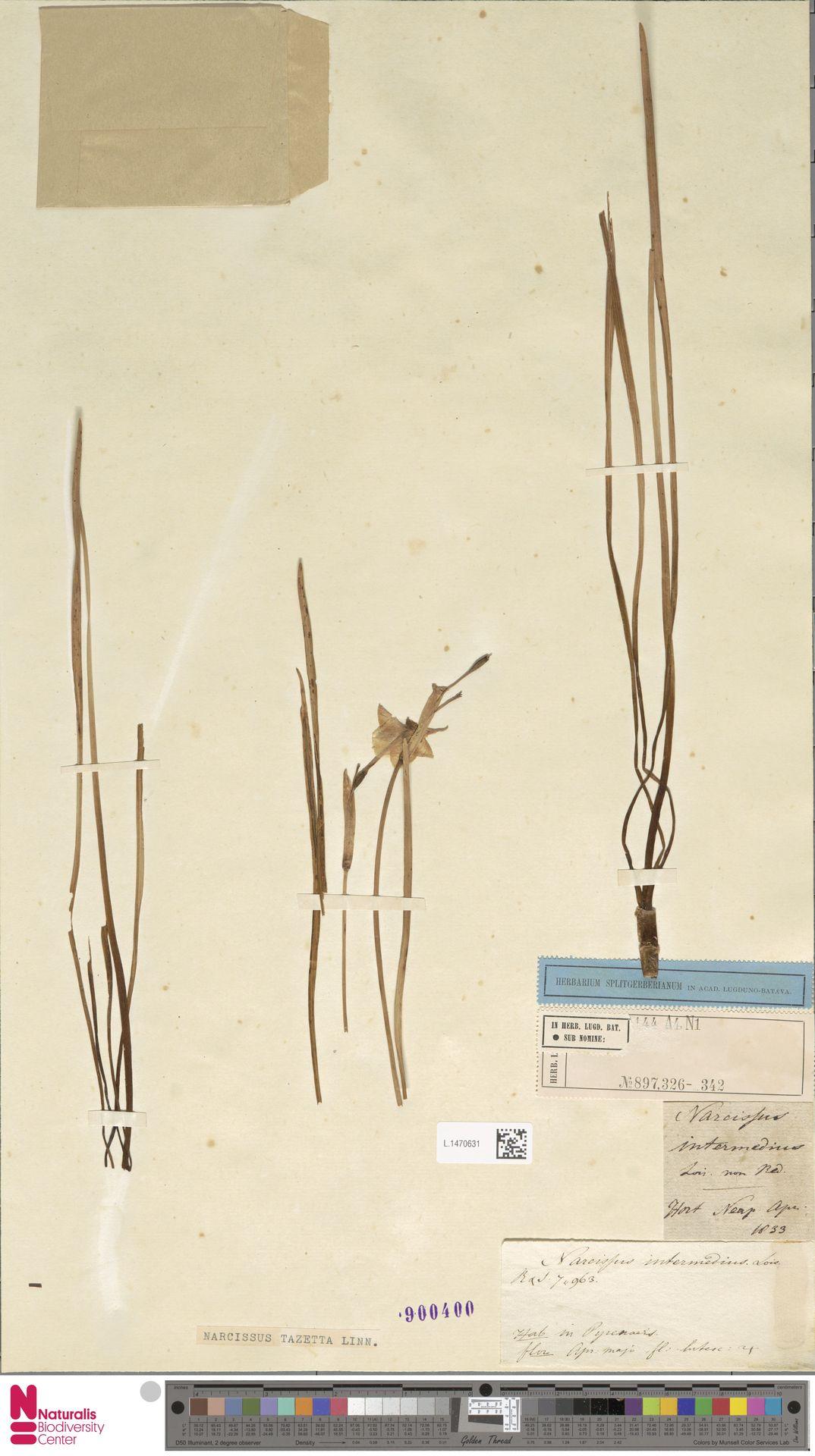 L.1470631 | Narcissus tazetta L.