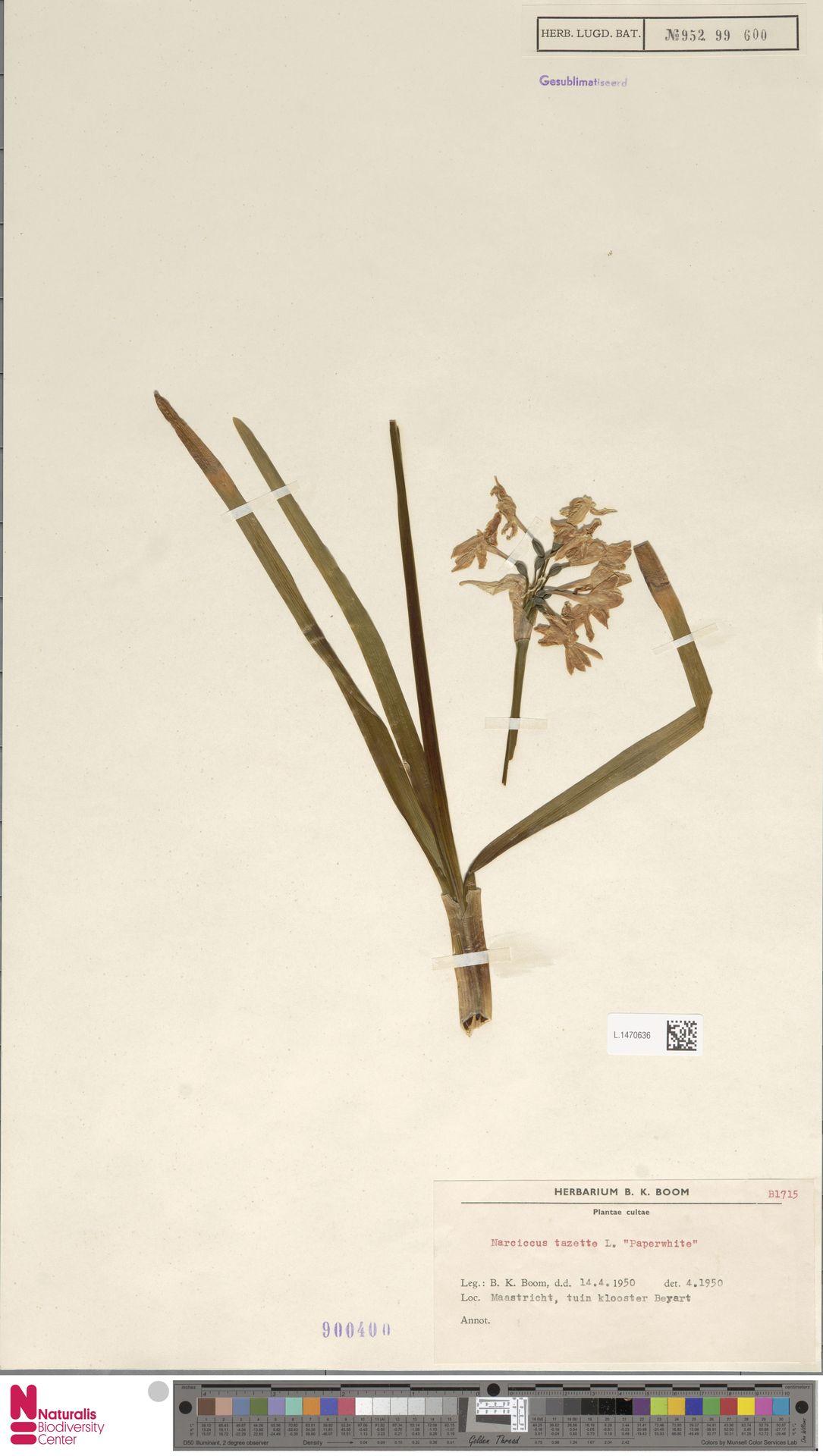 L.1470636 | Narcissus tazetta L.