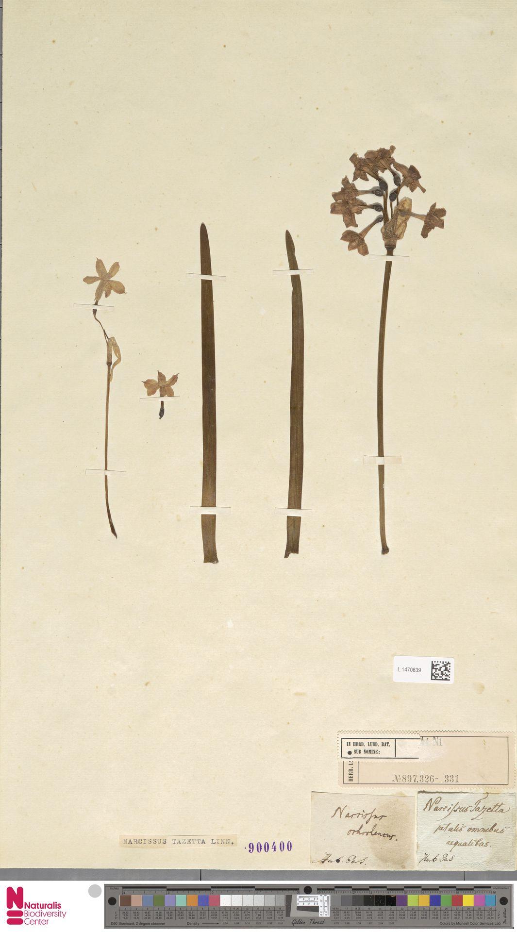 L.1470639   Narcissus tazetta L.