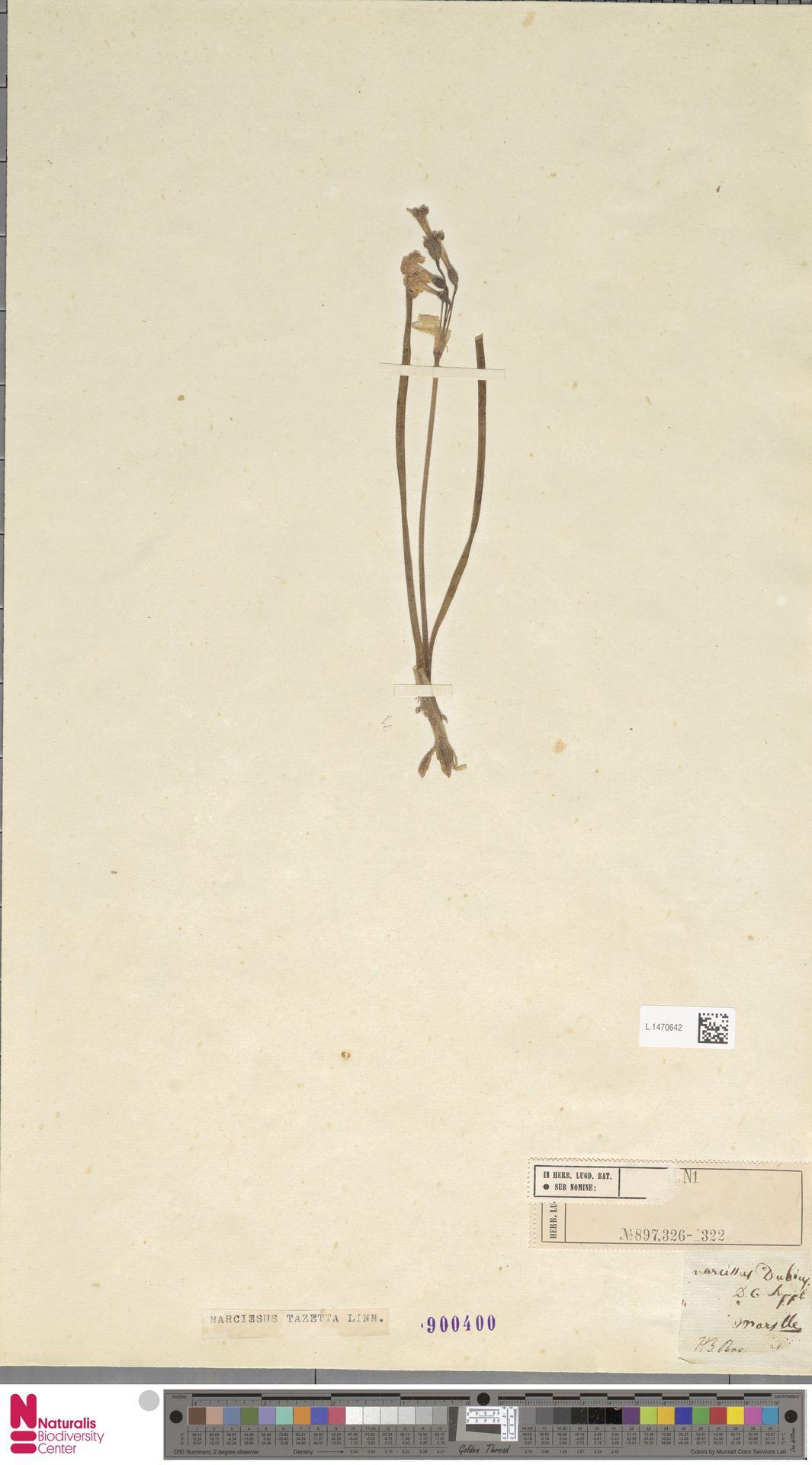 L.1470642 | Narcissus tazetta L.