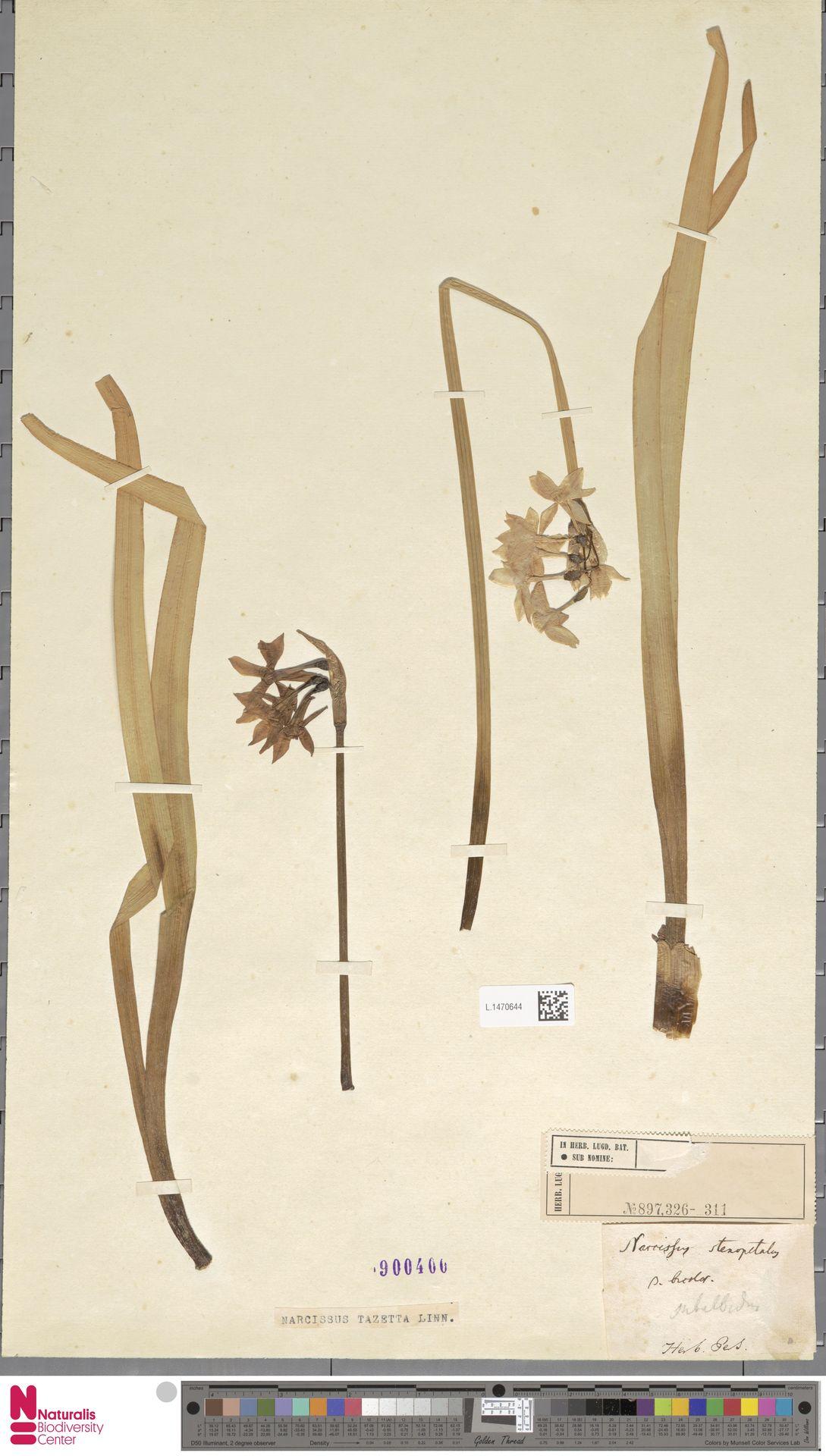 L.1470644 | Narcissus tazetta L.