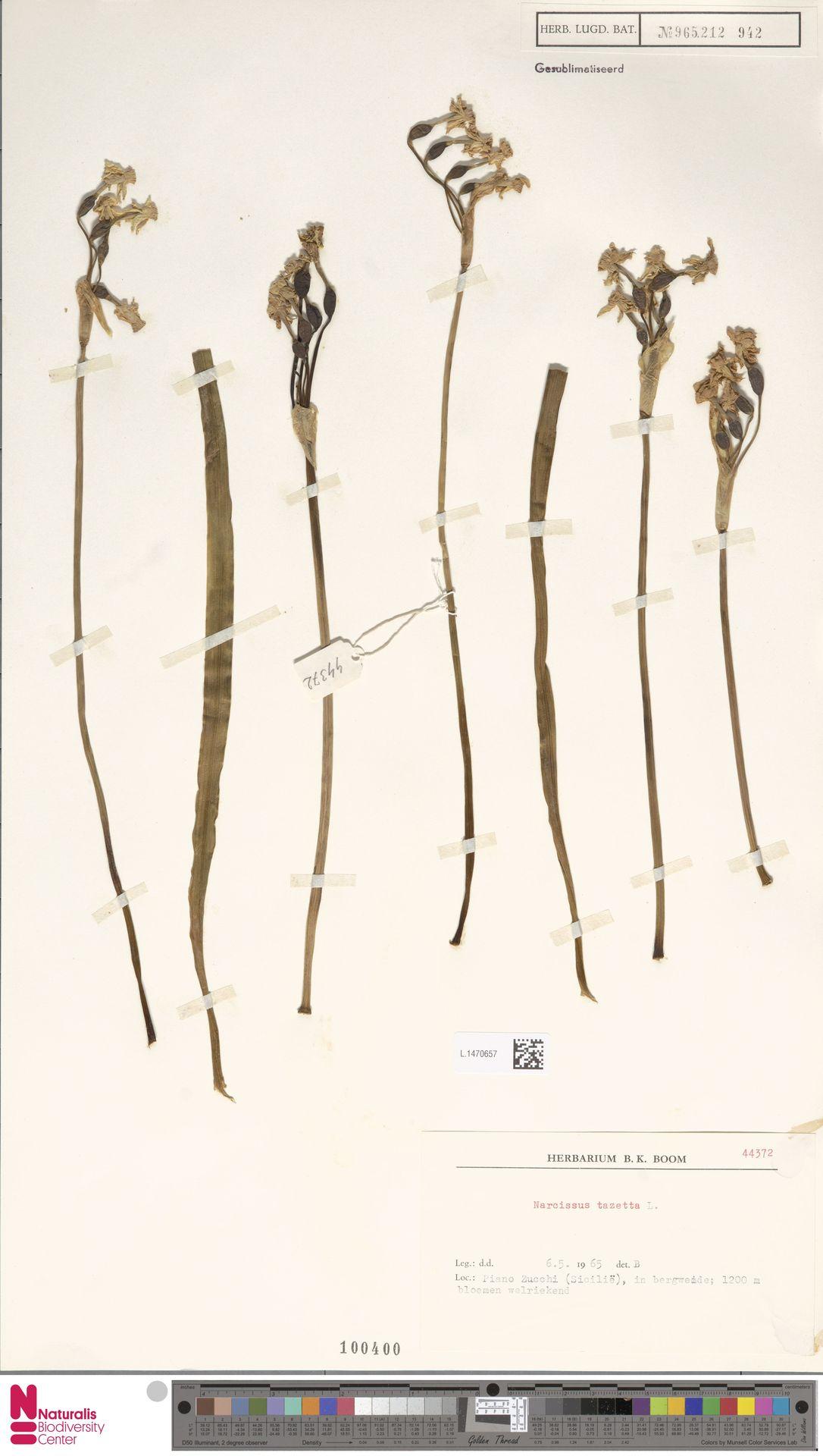 L.1470657 | Narcissus tazetta L.