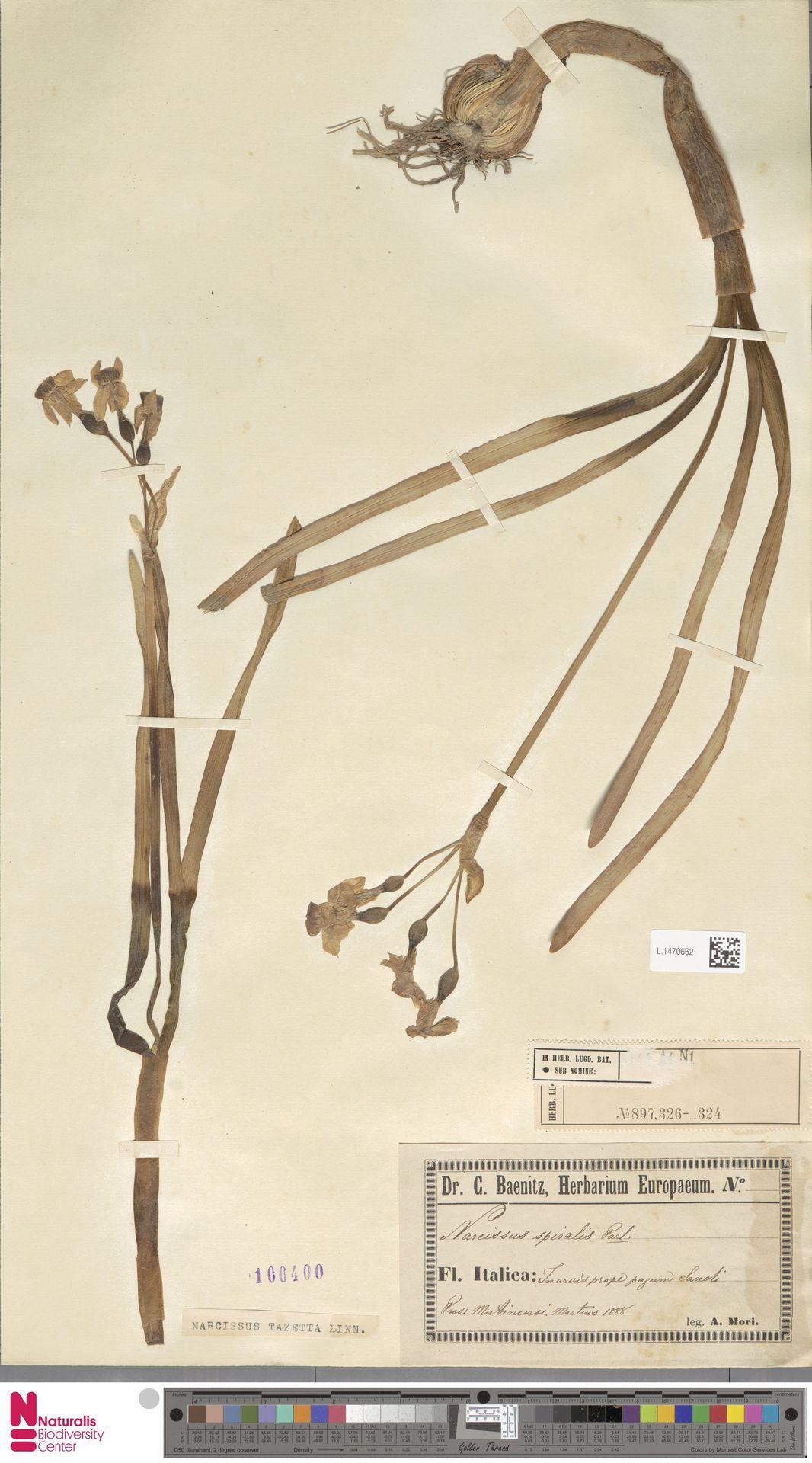 L.1470662 | Narcissus tazetta L.