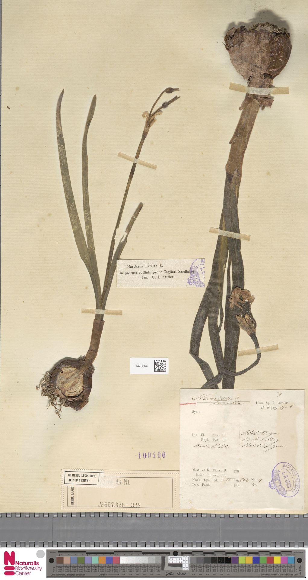 L.1470664 | Narcissus tazetta L.