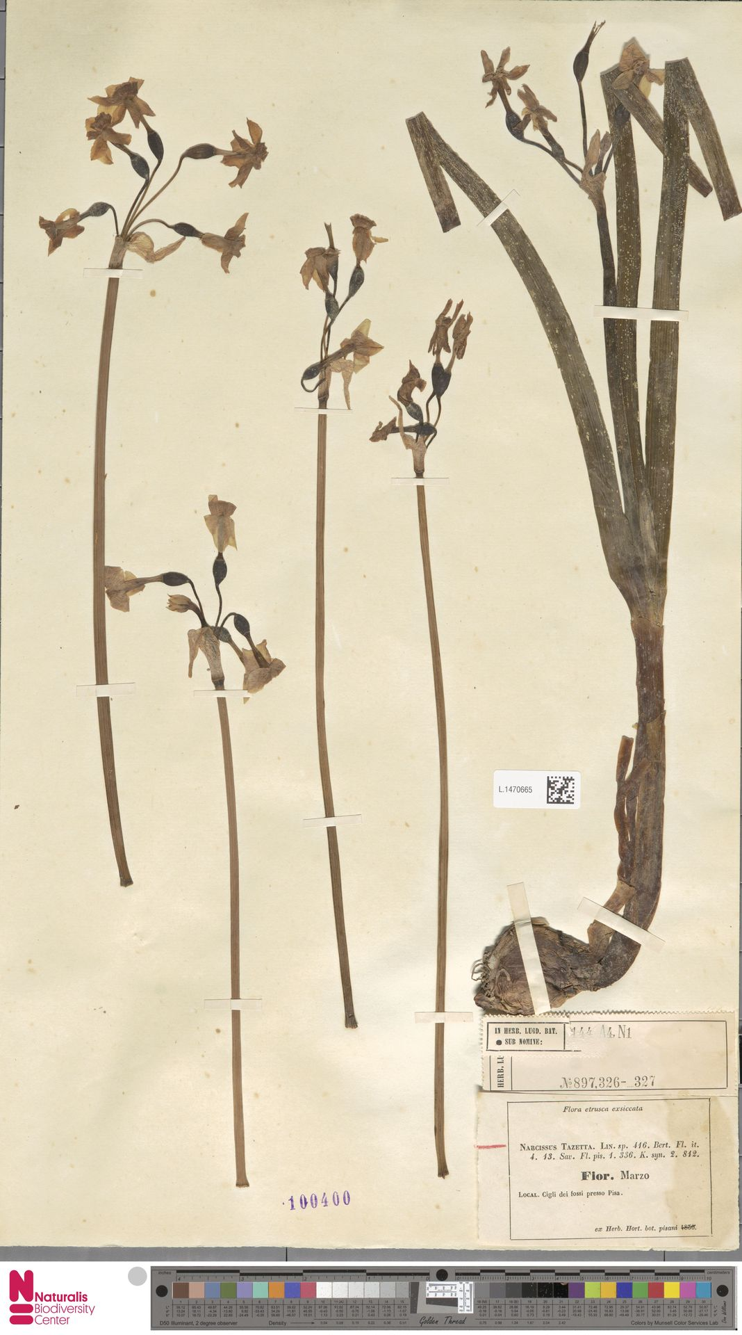 L.1470665 | Narcissus tazetta L.
