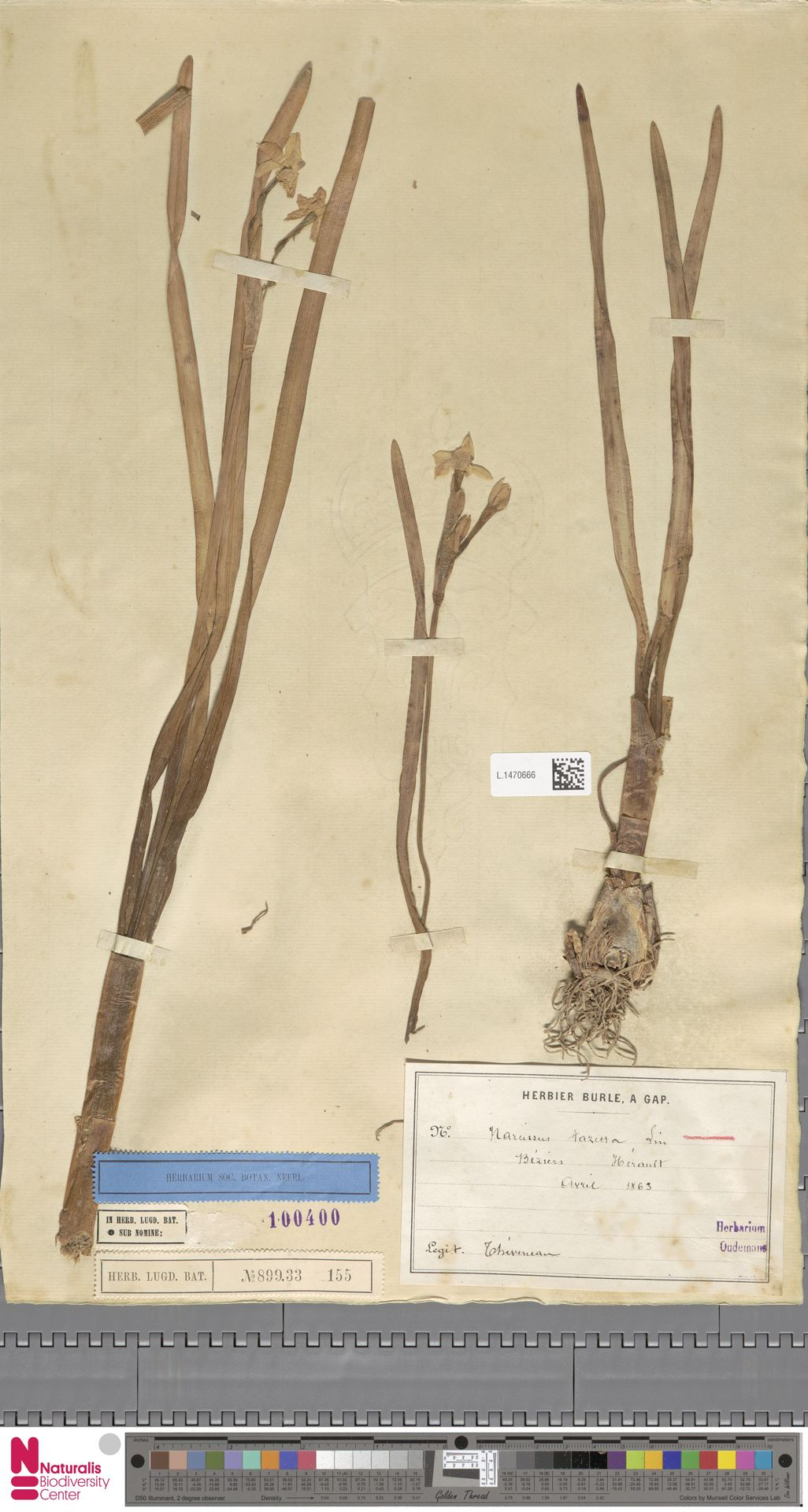 L.1470666 | Narcissus tazetta L.