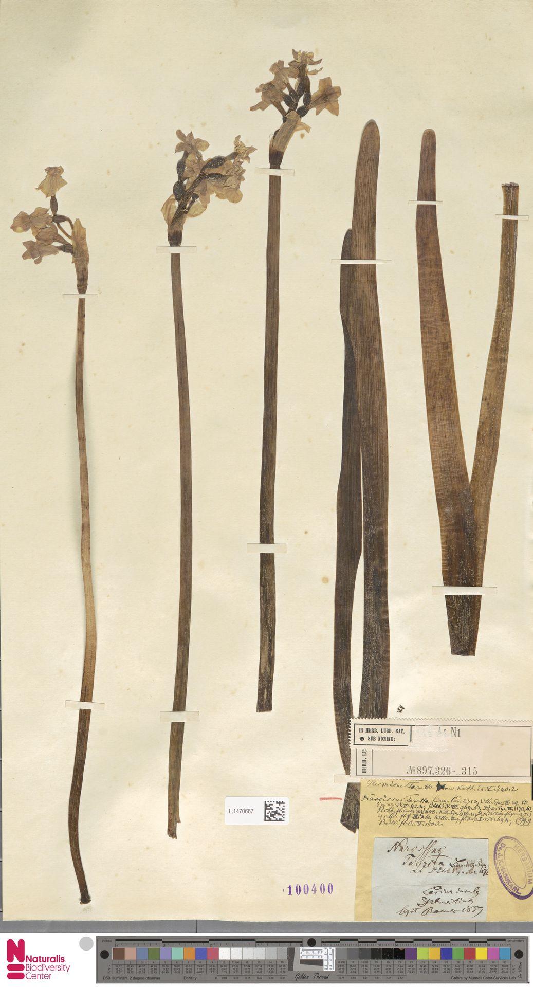 L.1470667 | Narcissus tazetta L.