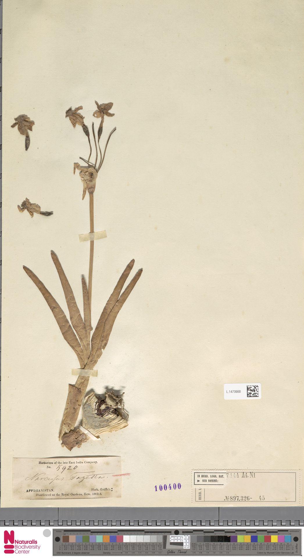 L.1470668   Narcissus tazetta L.