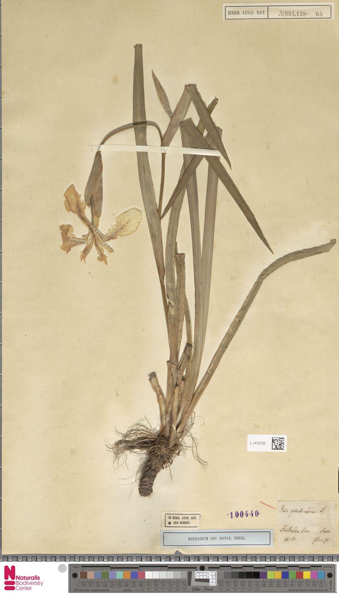 L.1472733 | Iris pseudacorus L.
