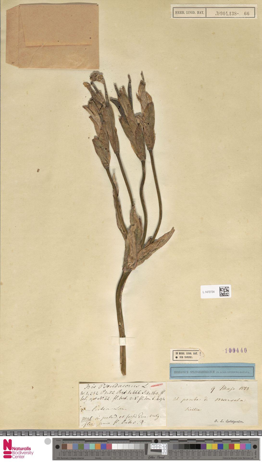 L.1472734 | Iris pseudacorus L.