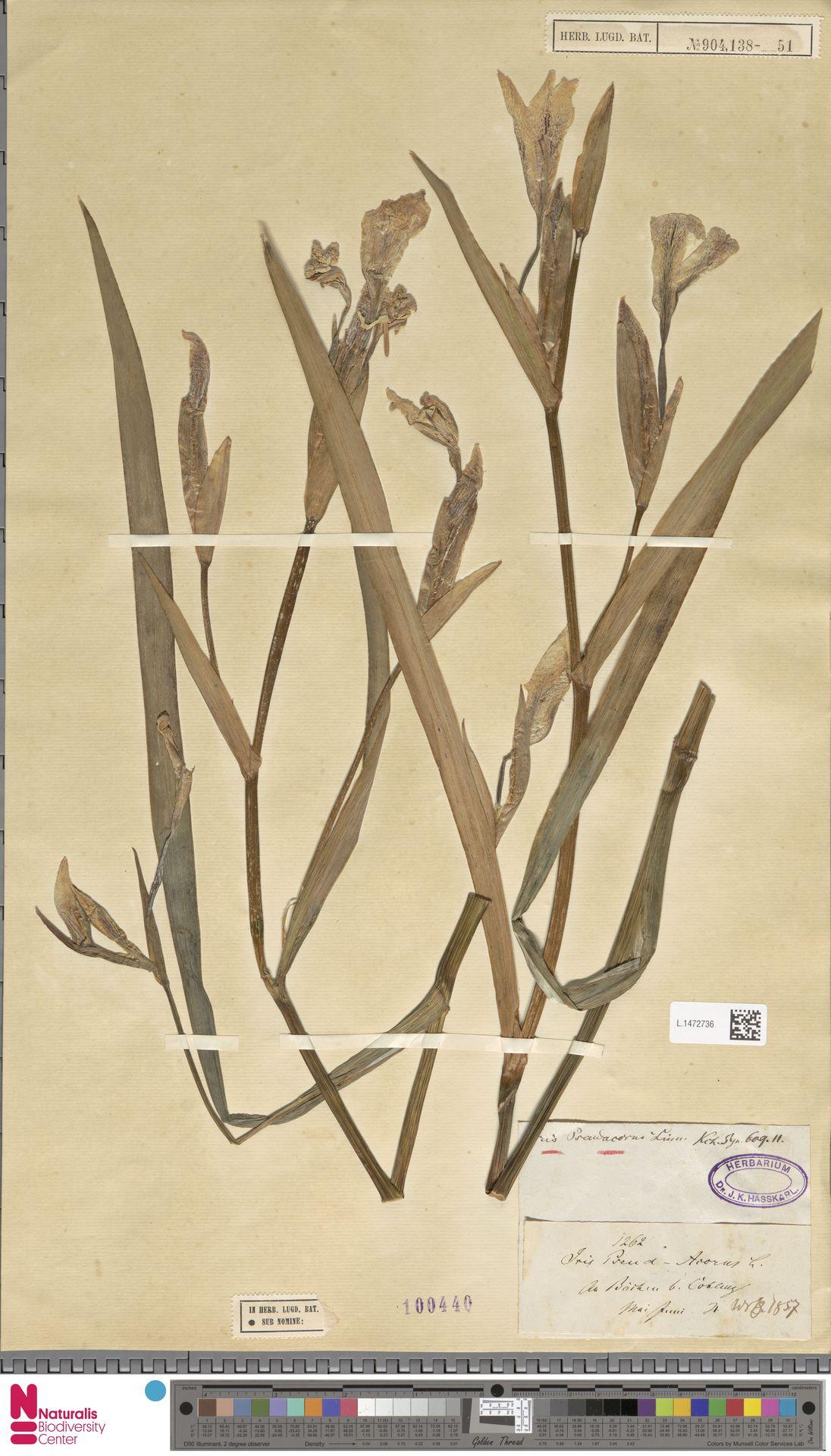 L.1472736 | Iris pseudacorus L.