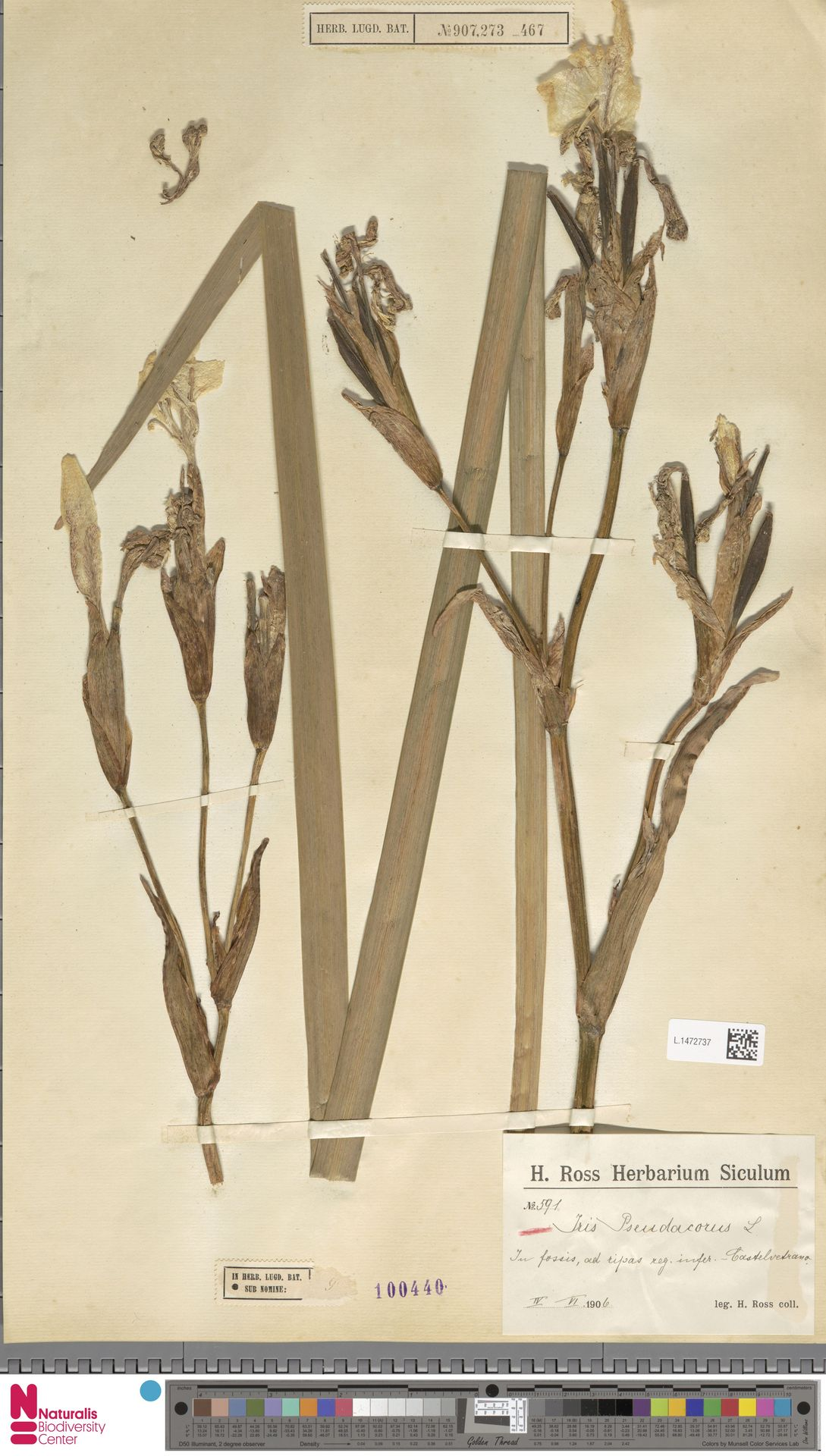 L.1472737 | Iris pseudacorus L.