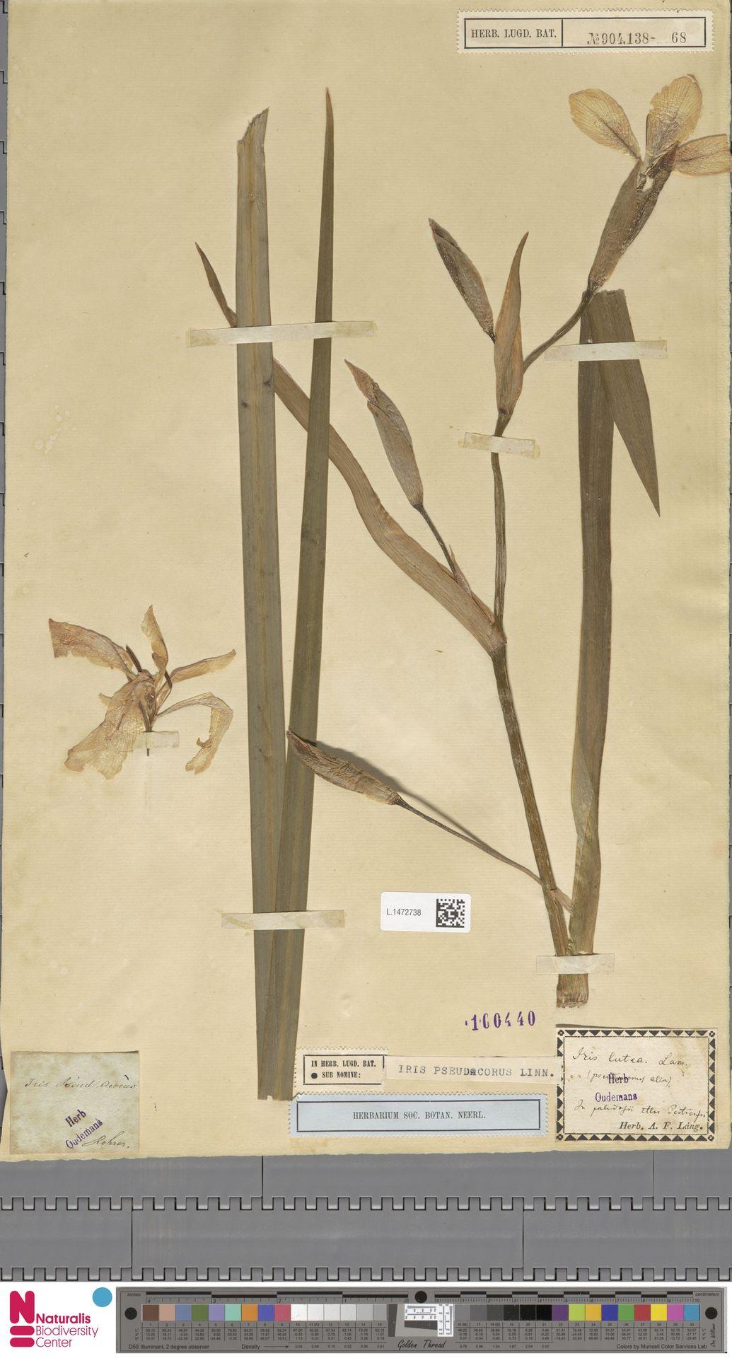 L.1472738 | Iris pseudacorus L.