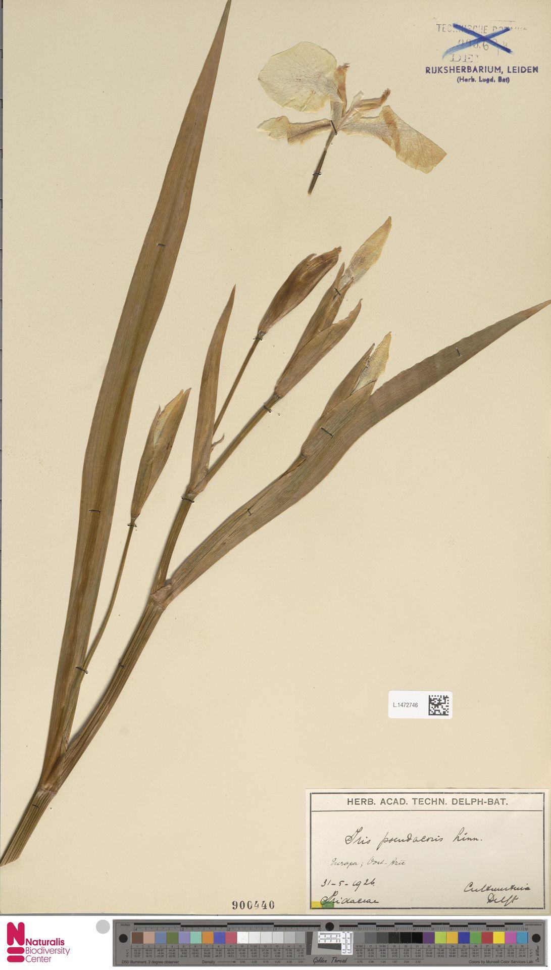 L.1472746 | Iris pseudacorus L.