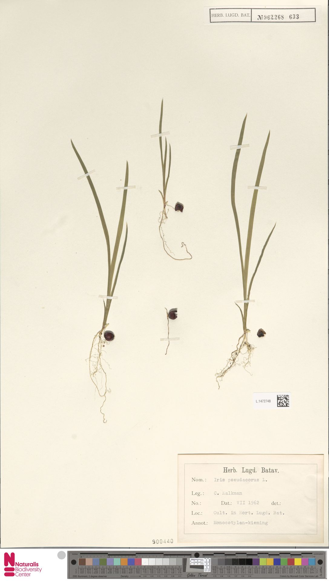 L.1472748 | Iris pseudacorus L.