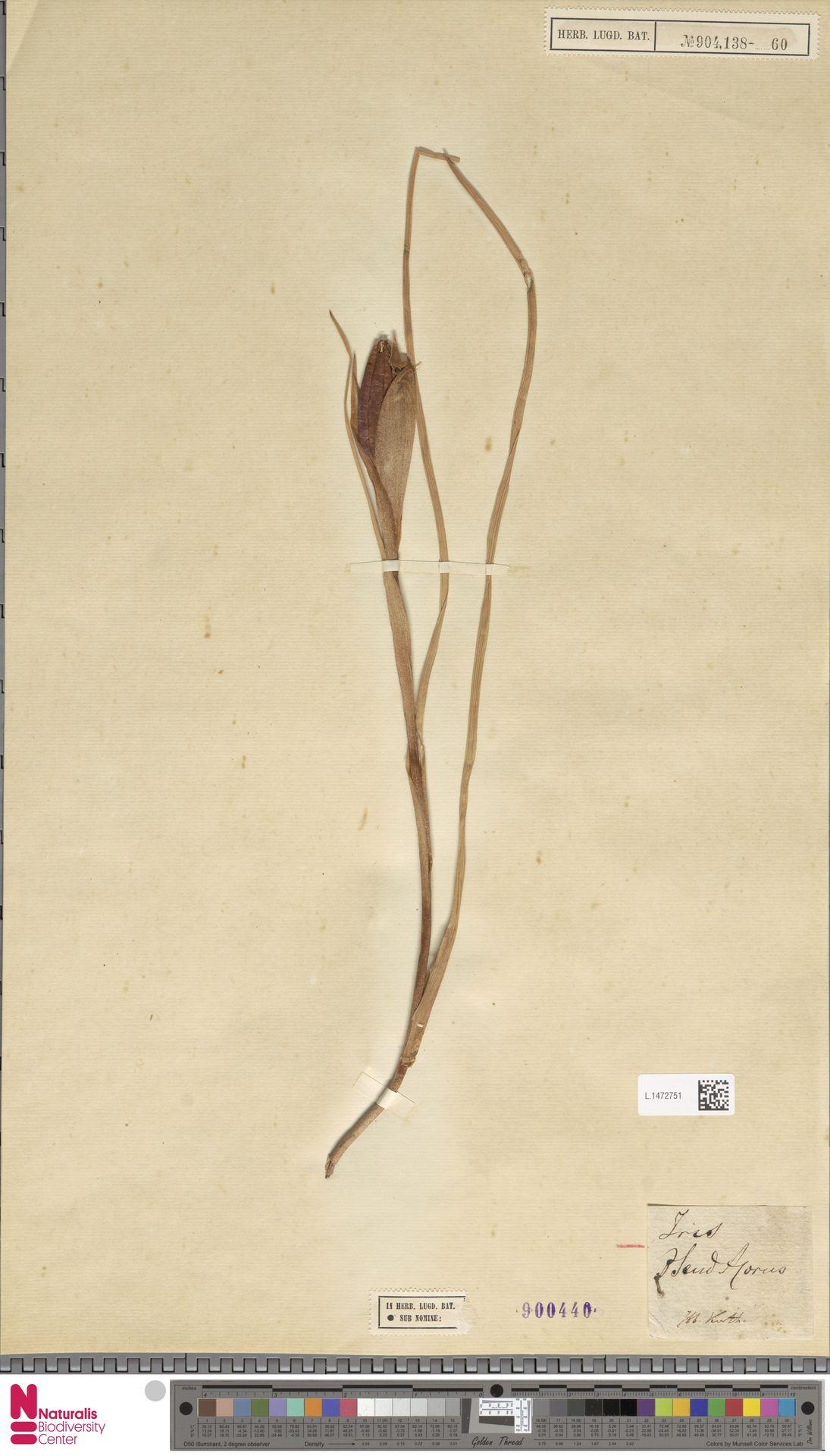 L.1472751 | Iris pseudacorus L.
