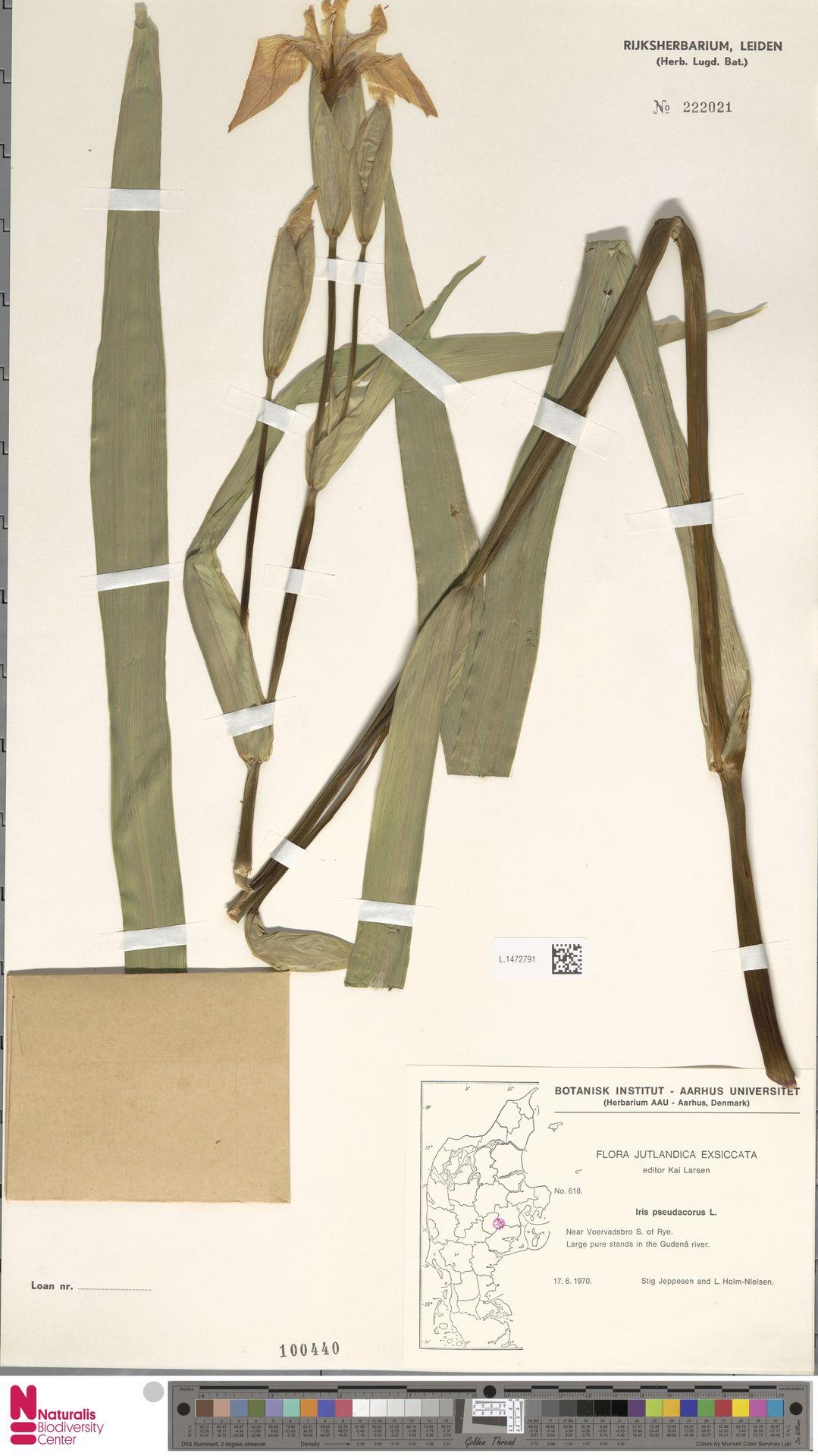 L.1472791 | Iris pseudacorus L.