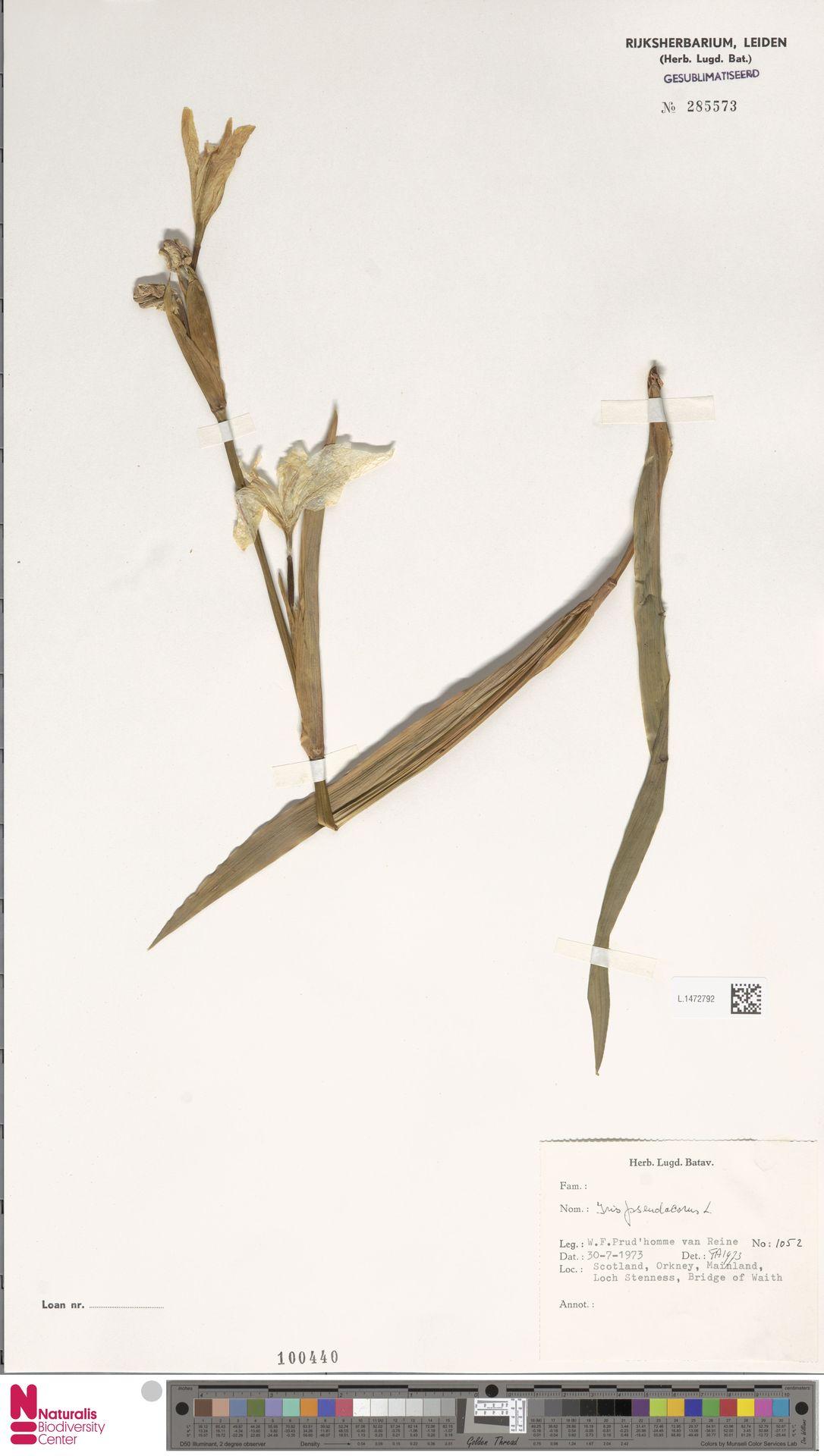 L.1472792 | Iris pseudacorus L.