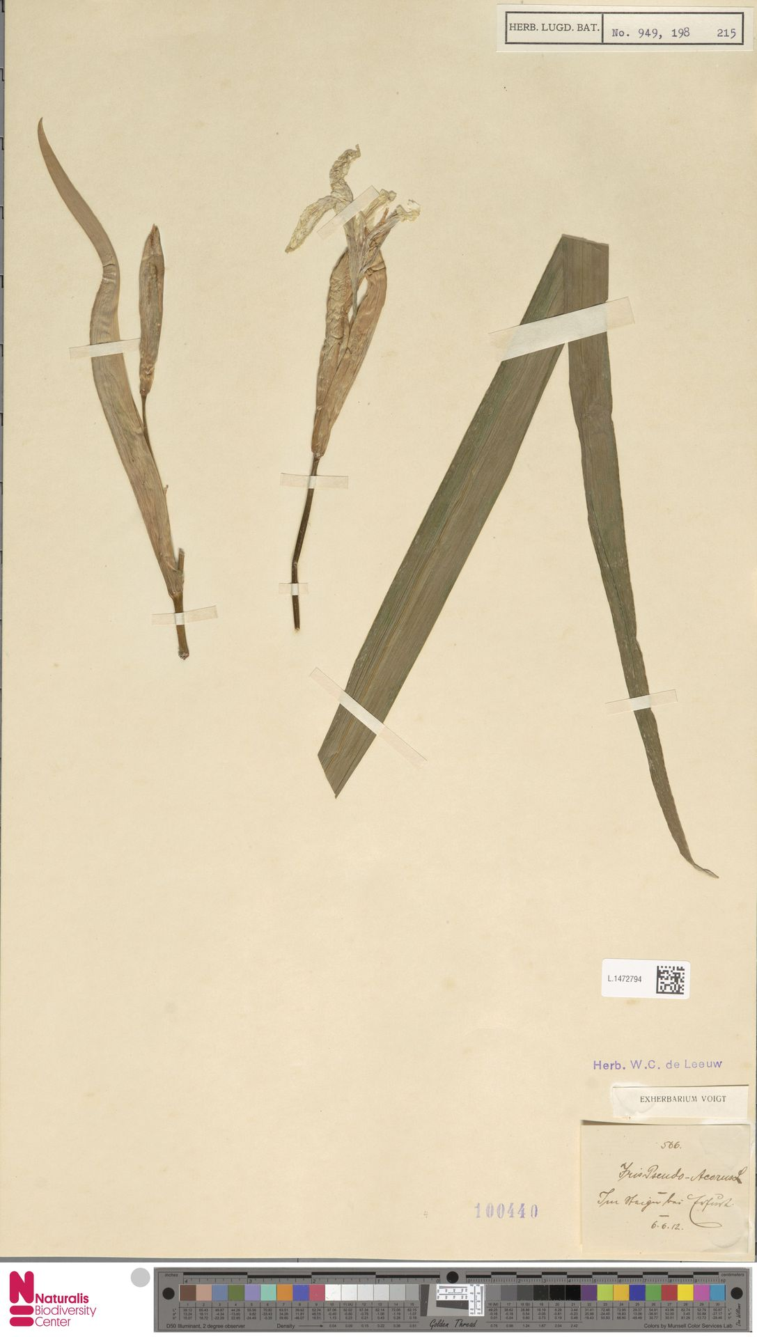 L.1472794 | Iris pseudacorus L.