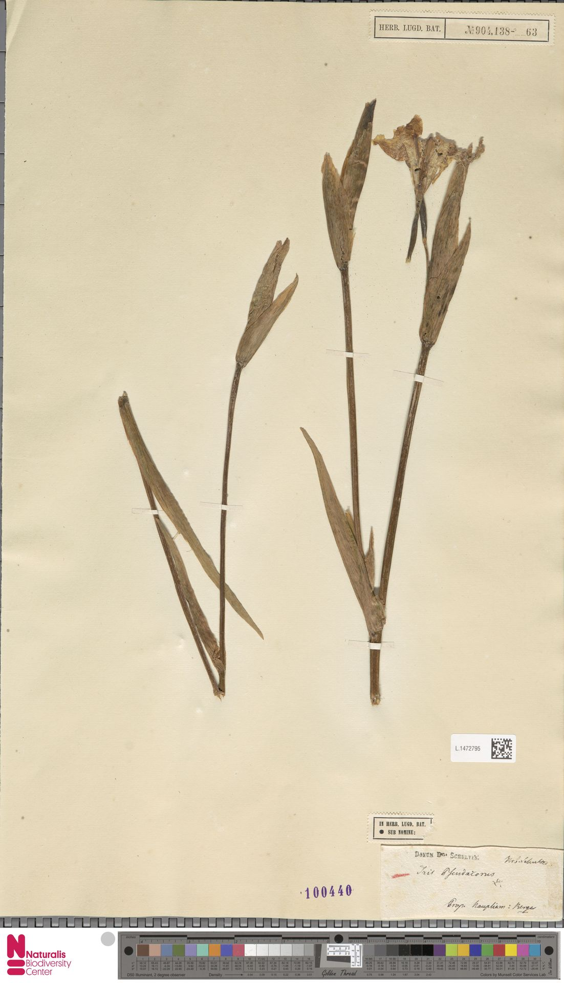 L.1472795 | Iris pseudacorus L.