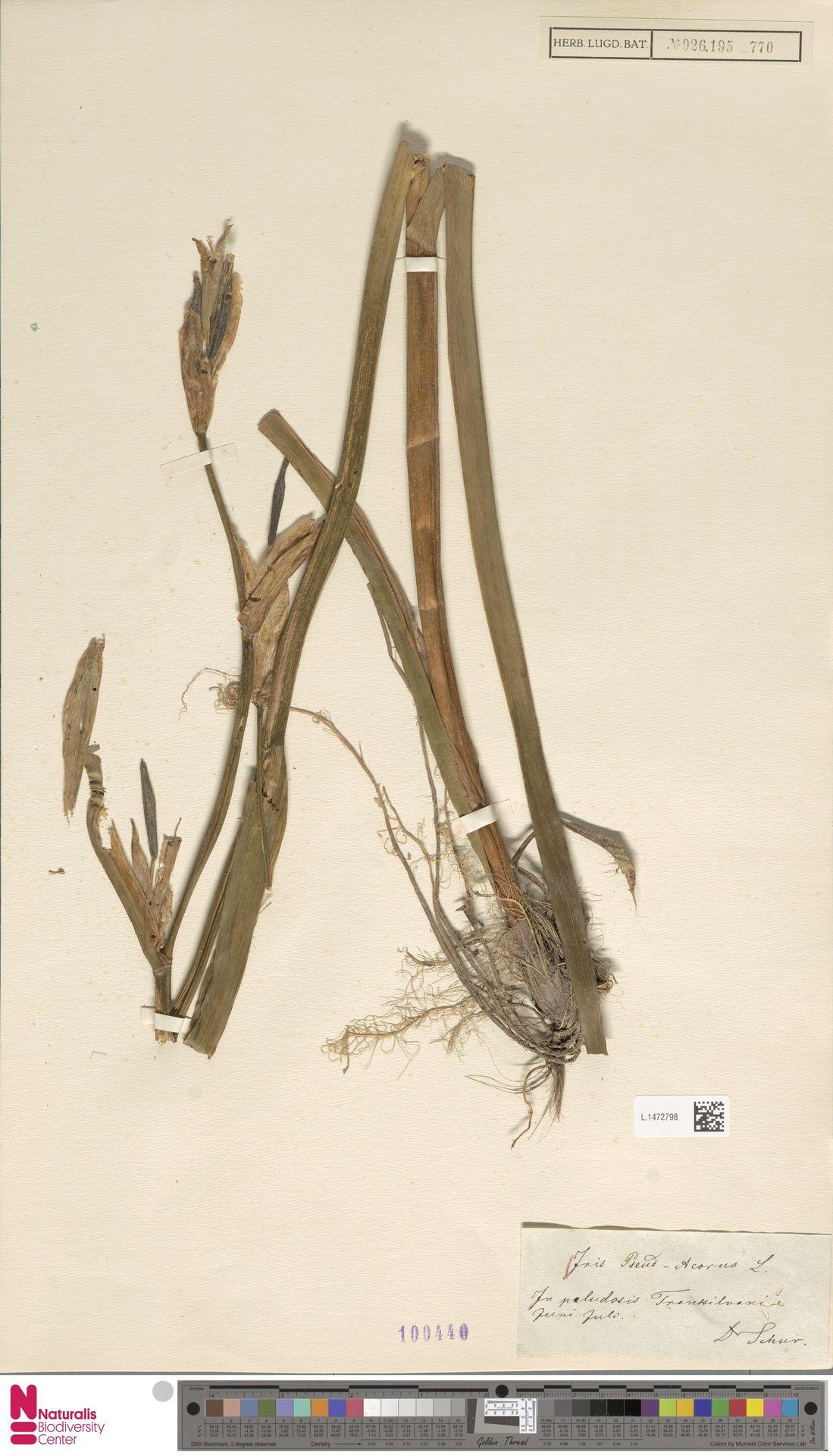 L.1472798 | Iris pseudacorus L.