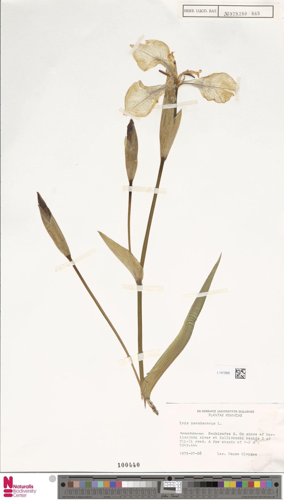 L.1472800 | Iris pseudacorus L.
