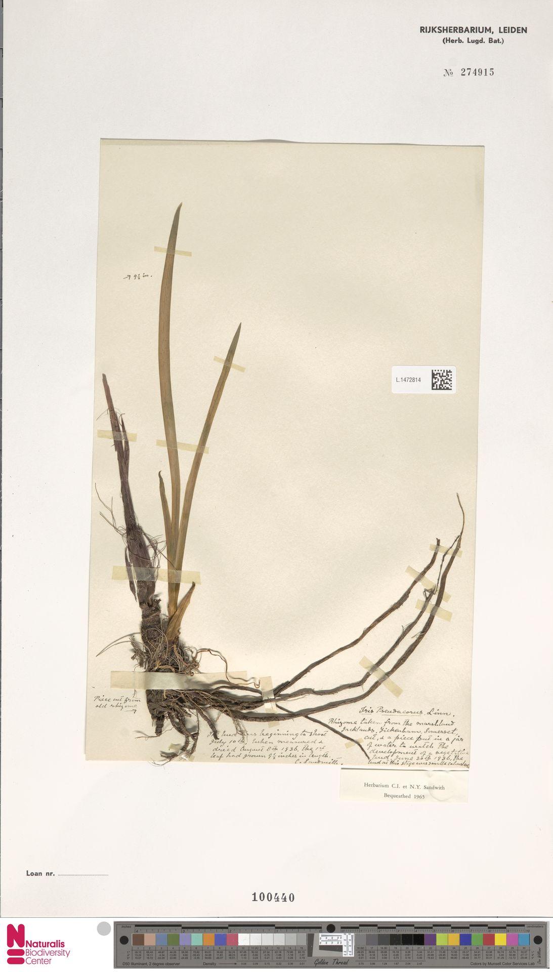 L.1472814 | Iris pseudacorus L.