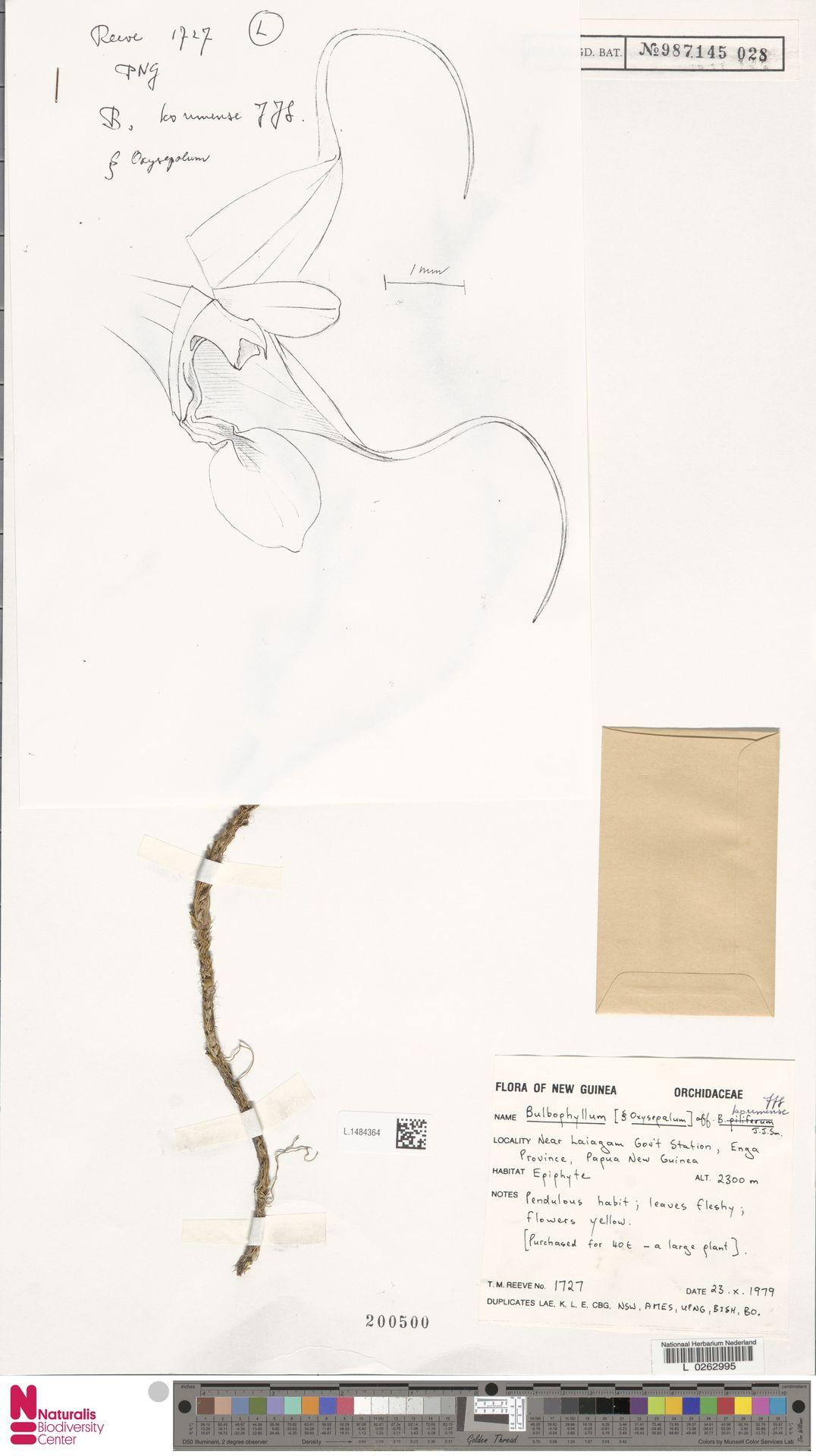 L.1484364 | Bulbophyllum korimense J.J.Sm.