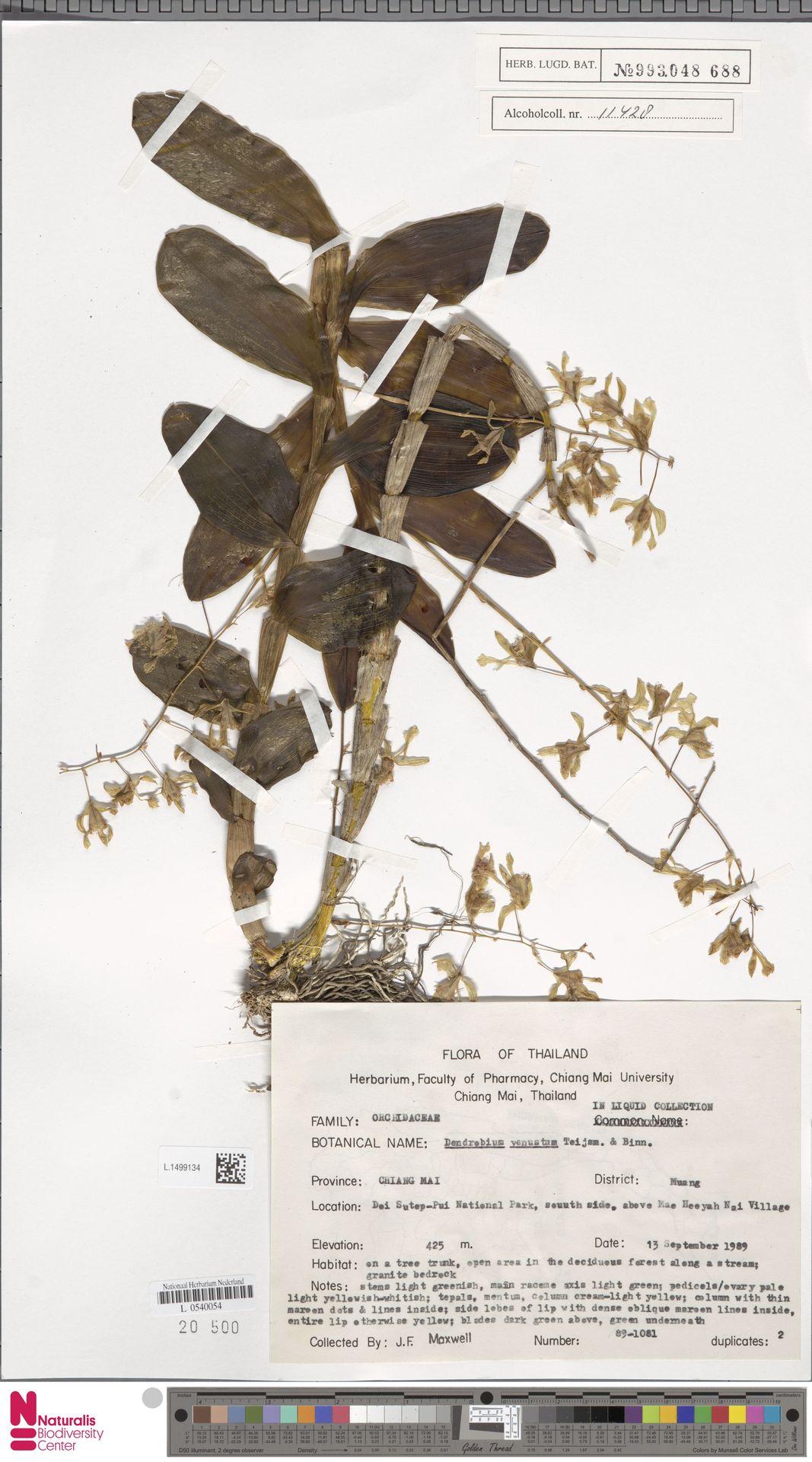 L.1499134 | Dendrobium venustum Arthur