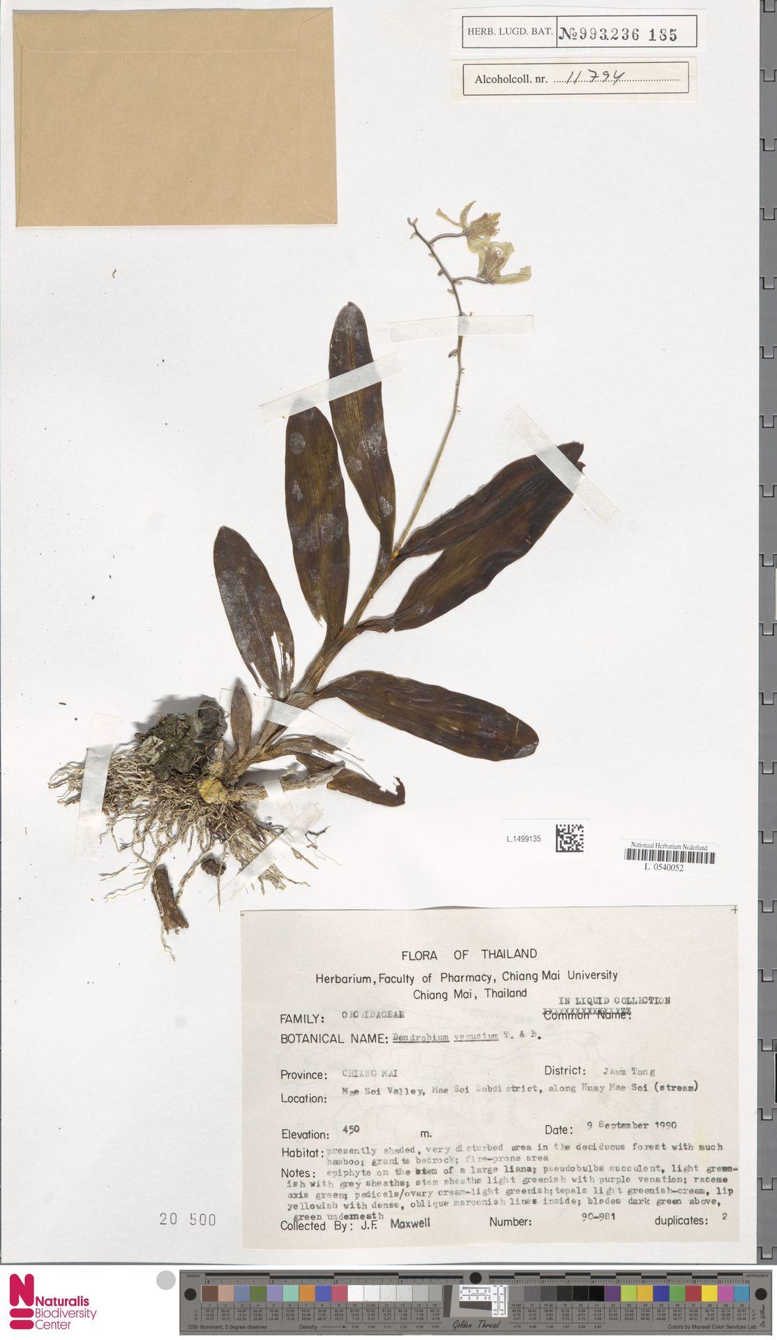 L.1499135 | Dendrobium venustum Arthur