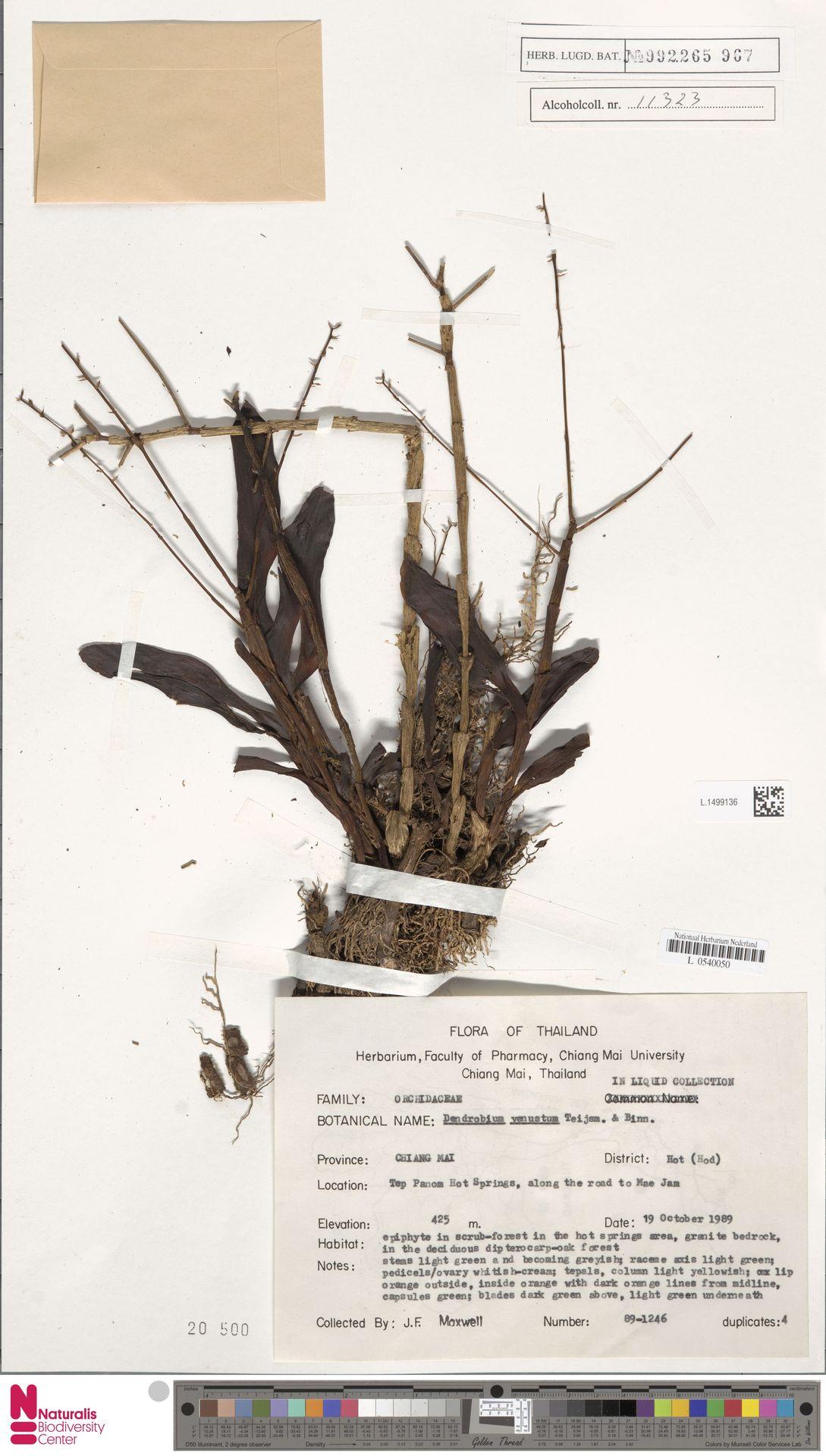 L.1499136 | Dendrobium venustum Arthur