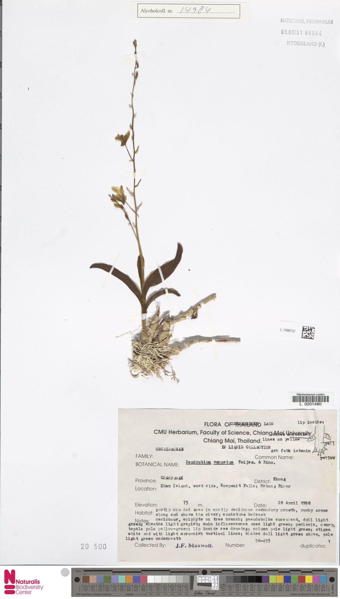 L.1499137 | Dendrobium venustum Arthur