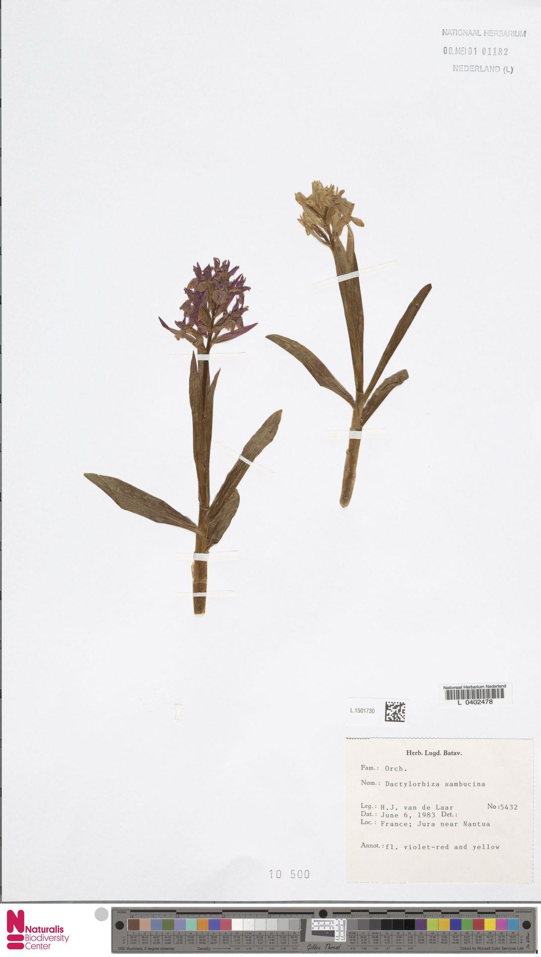 L.1501730 | Dactylorhiza sambucina (L.) Soó