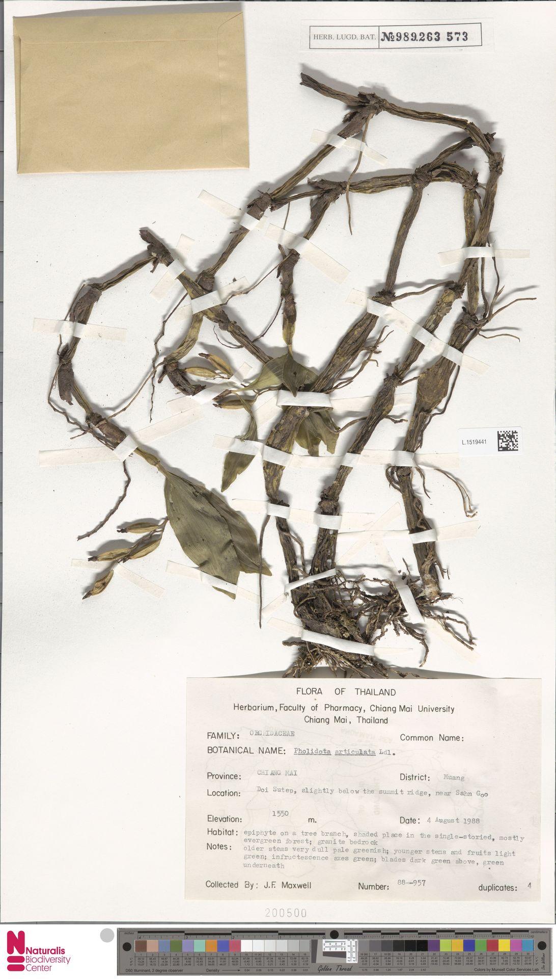 L.1519441 | Pholidota articulata Lindl.
