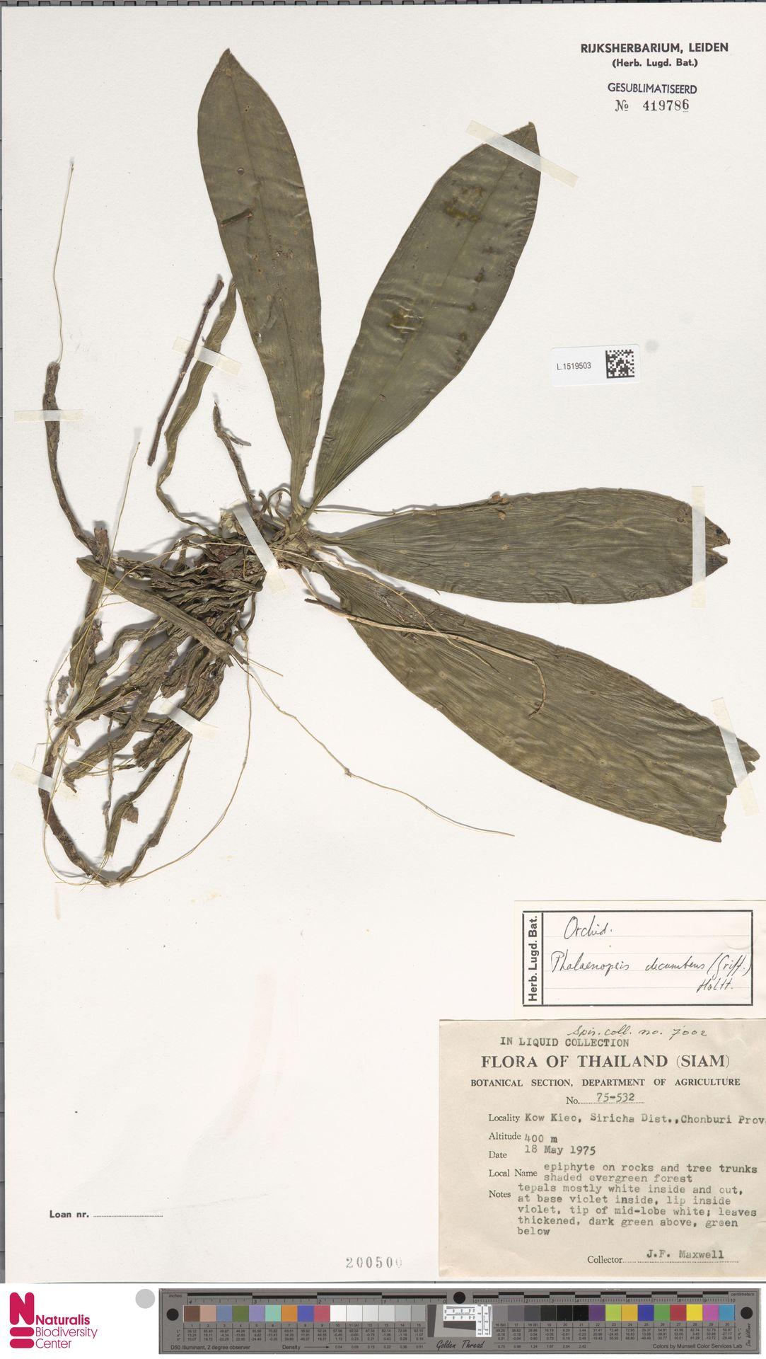 L.1519503 | Phalaenopsis decumbens (Griff.) Holttum