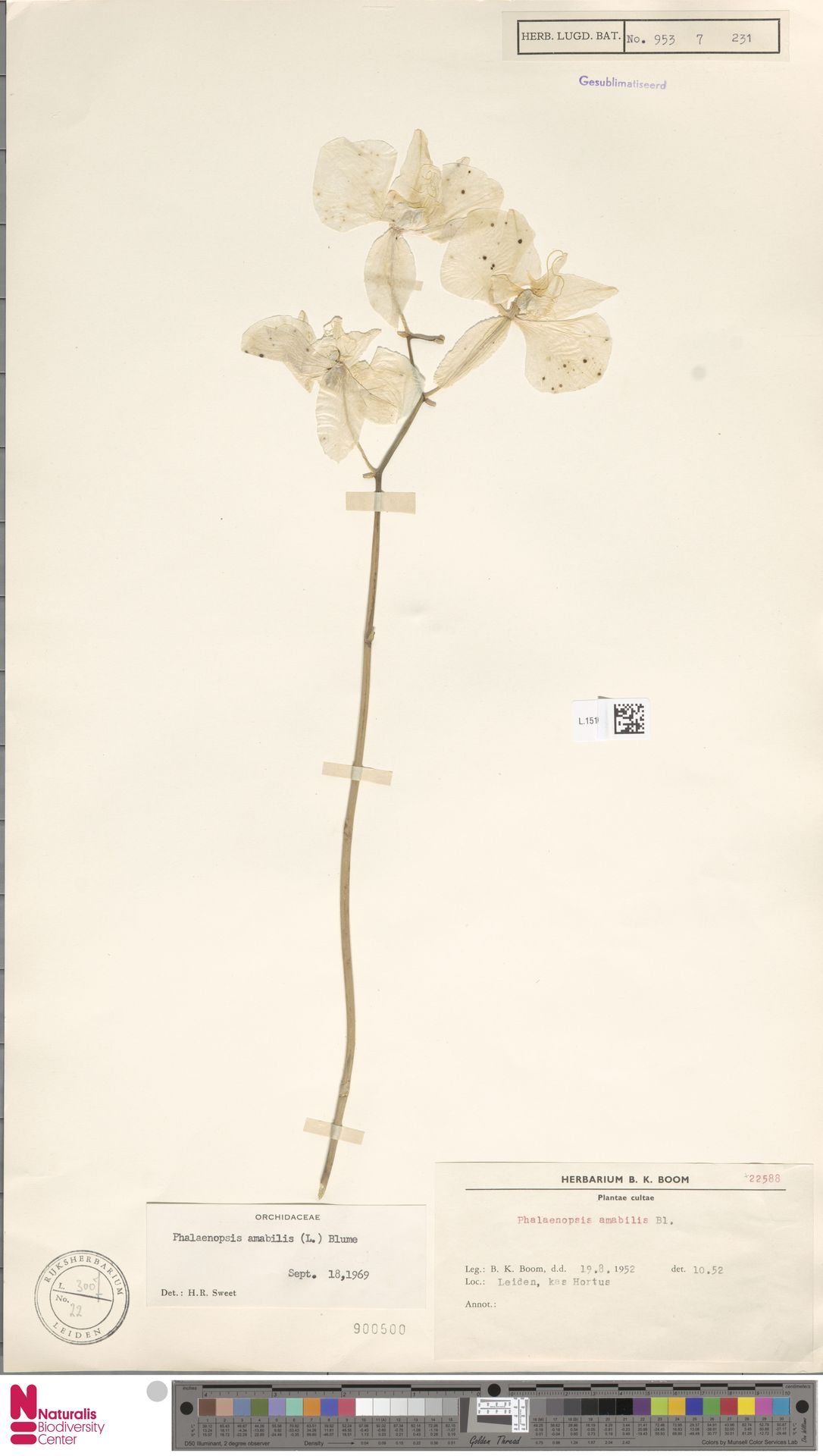 L.1519520 | Phalaenopsis amabilis (L.) Blume