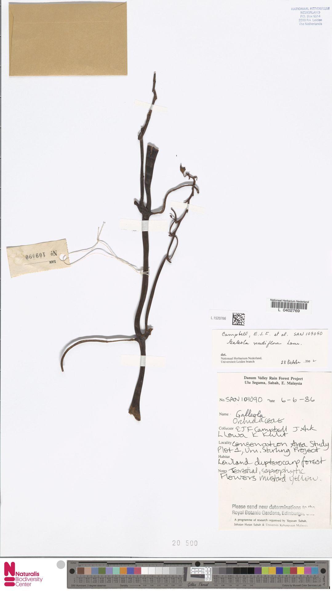 L.1520766 | Galeola nudifolia Lour.