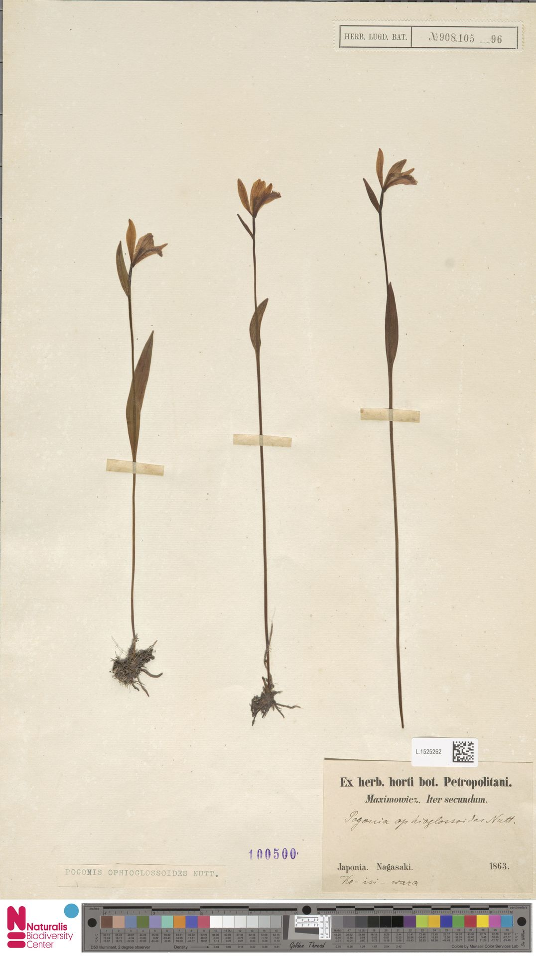L.1525262 | Pogonia ophioglossoides Nutt.