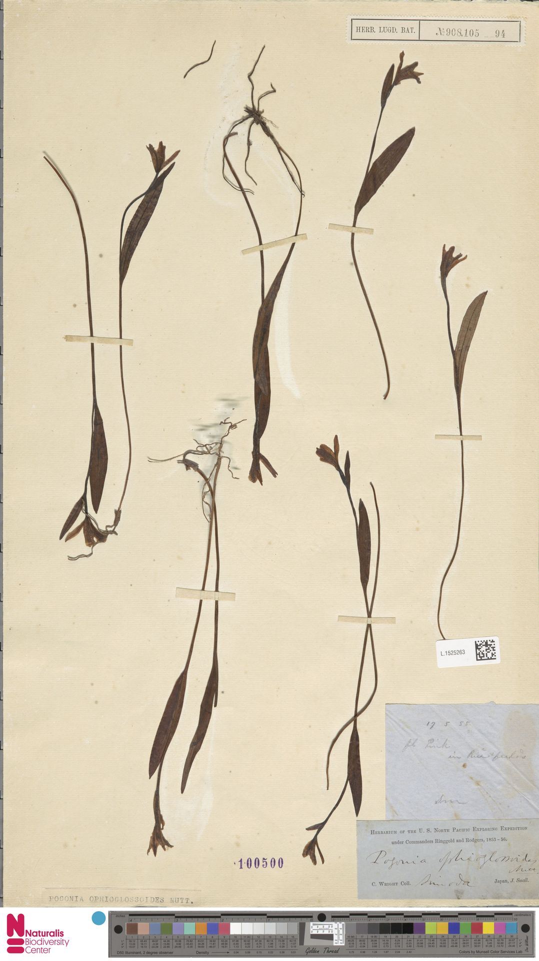 L.1525263 | Pogonia ophioglossoides Nutt.