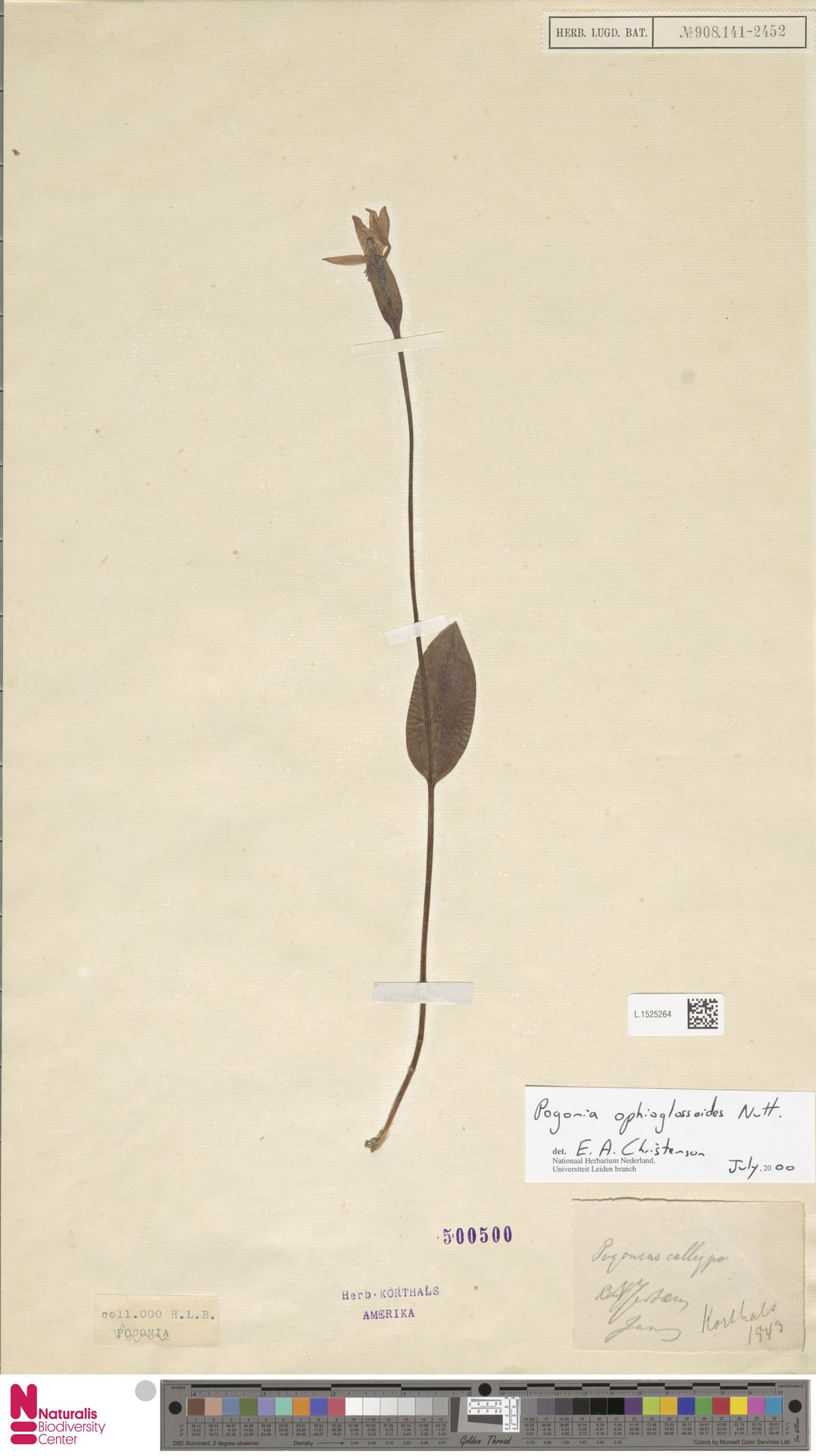 L.1525264 | Pogonia ophioglossoides Nutt.