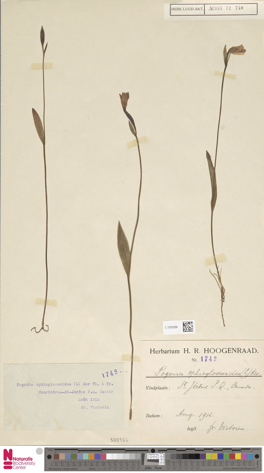 L.1525266 | Pogonia ophioglossoides Nutt.