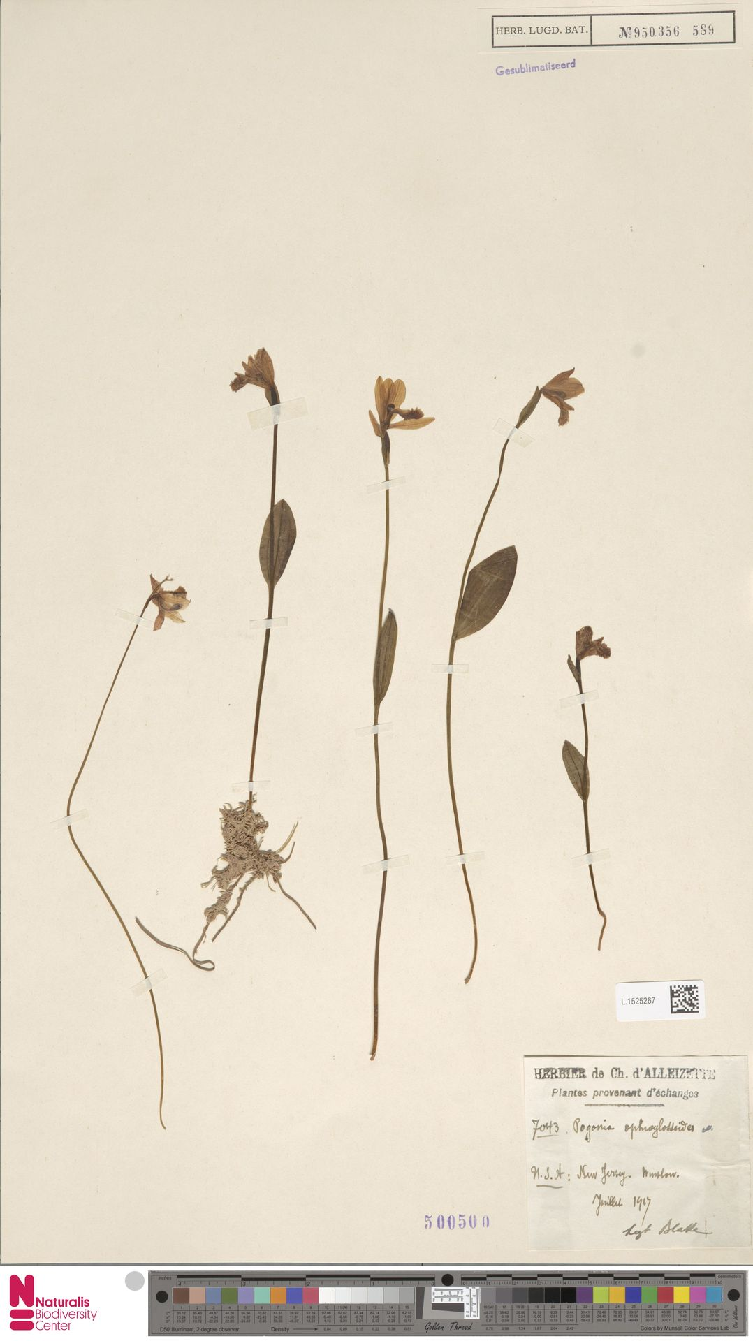 L.1525267 | Pogonia ophioglossoides Nutt.