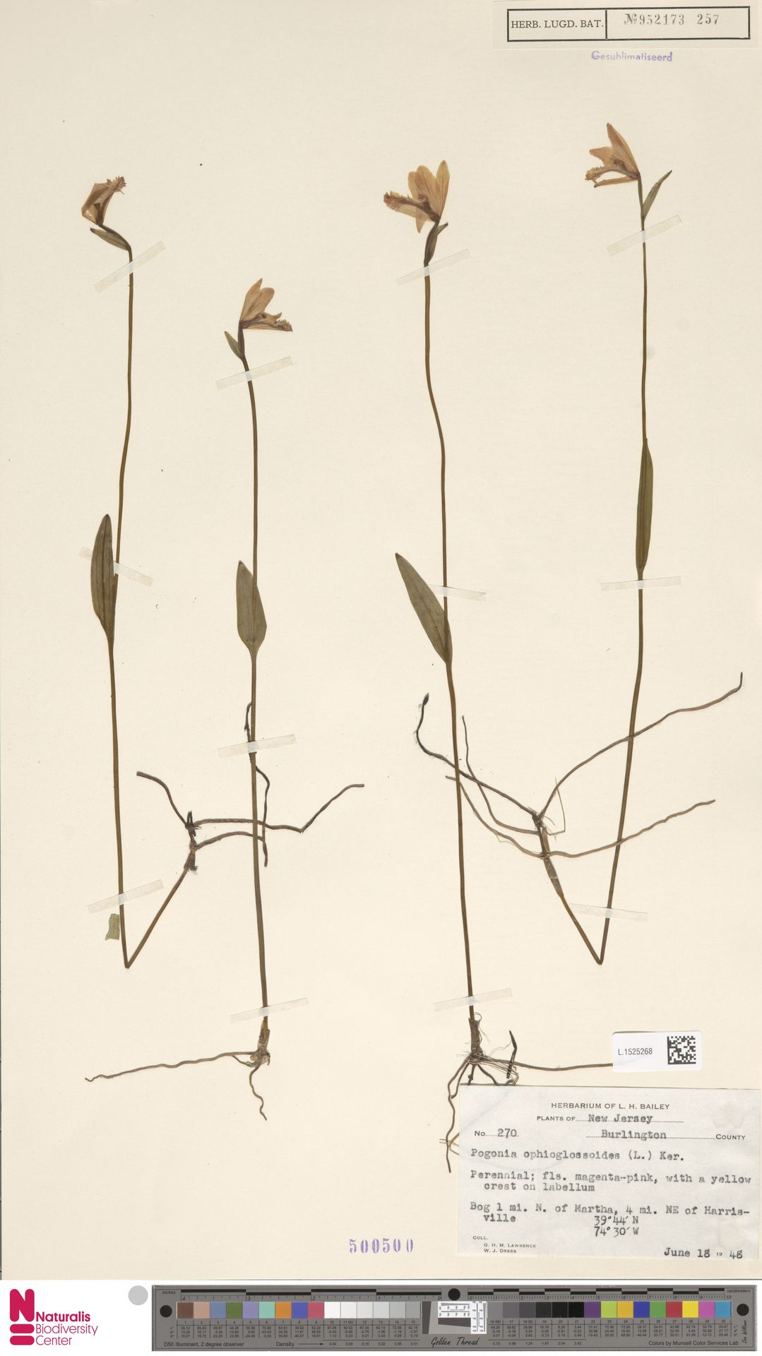 L.1525268 | Pogonia ophioglossoides Nutt.