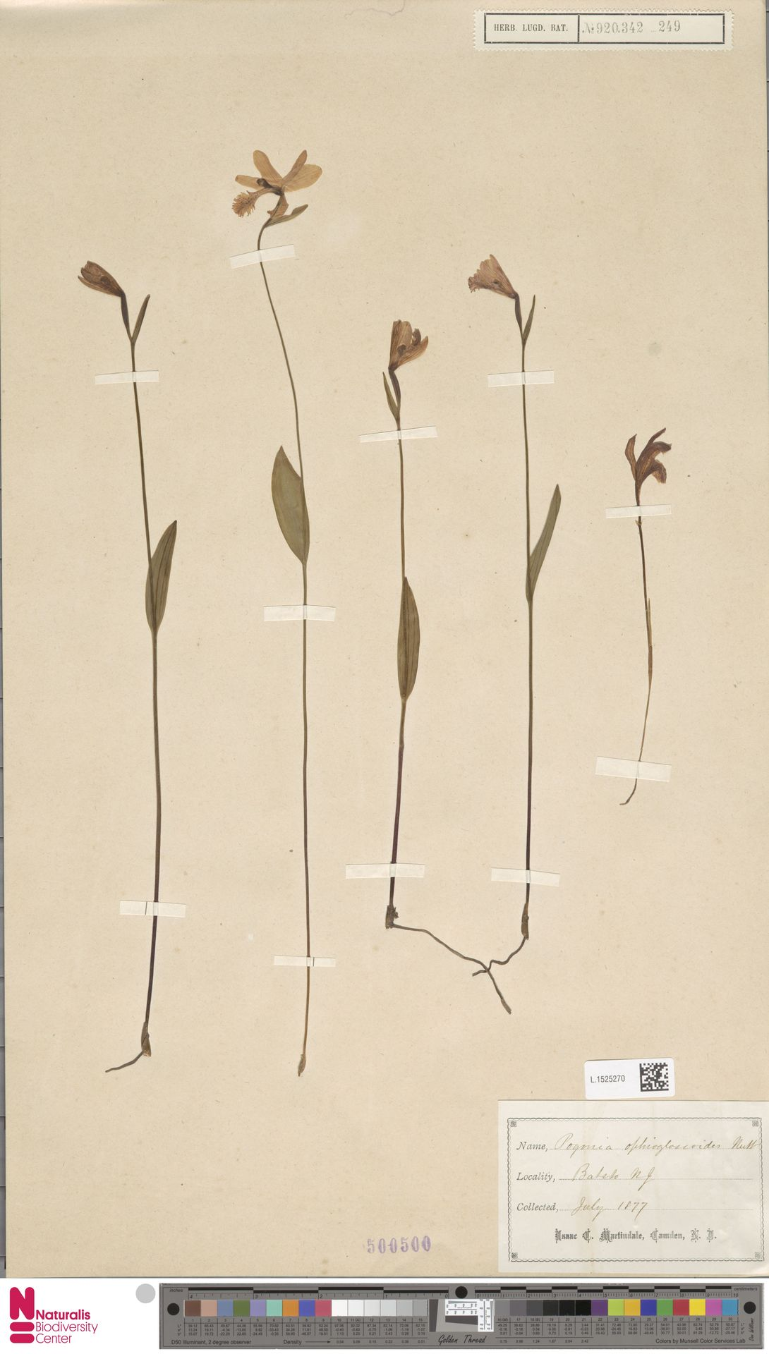 L.1525270 | Pogonia ophioglossoides Nutt.